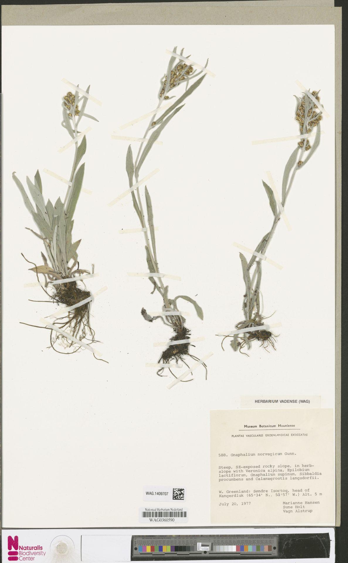 WAG.1409707 | Gnaphalium norvegicum Gunnerus