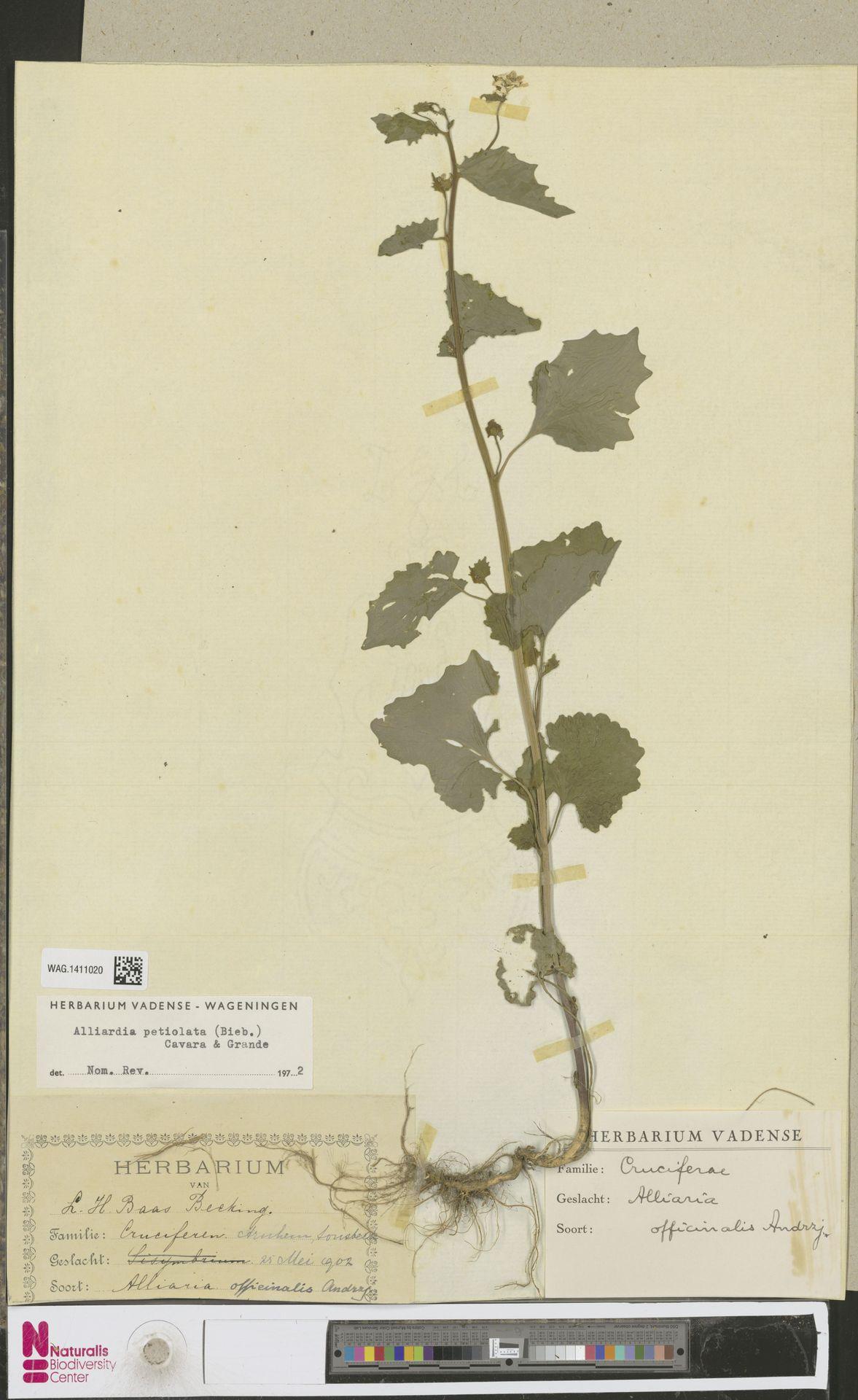 WAG.1411020 | Alliaria petiolata (M.Bieb.) Cavara & Grande