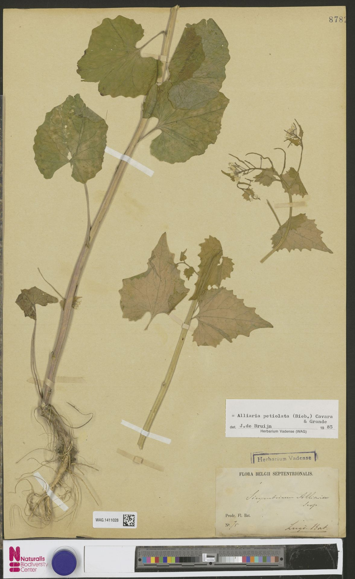 WAG.1411028 | Alliaria petiolata (M.Bieb.) Cavara & Grande