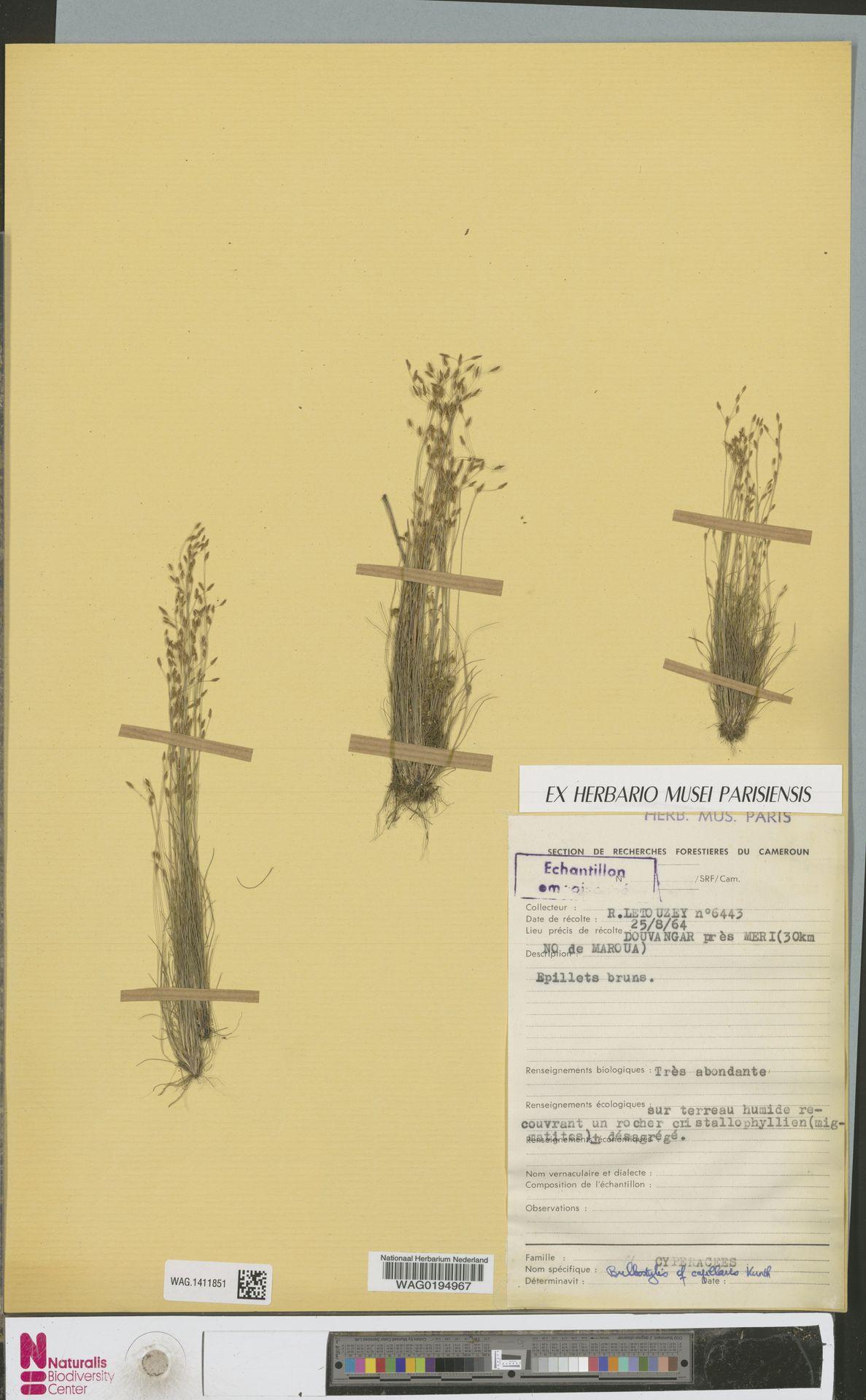 WAG.1411851 | Bulbostylis capillaris (L.) Kunth ex C.B.Clarke