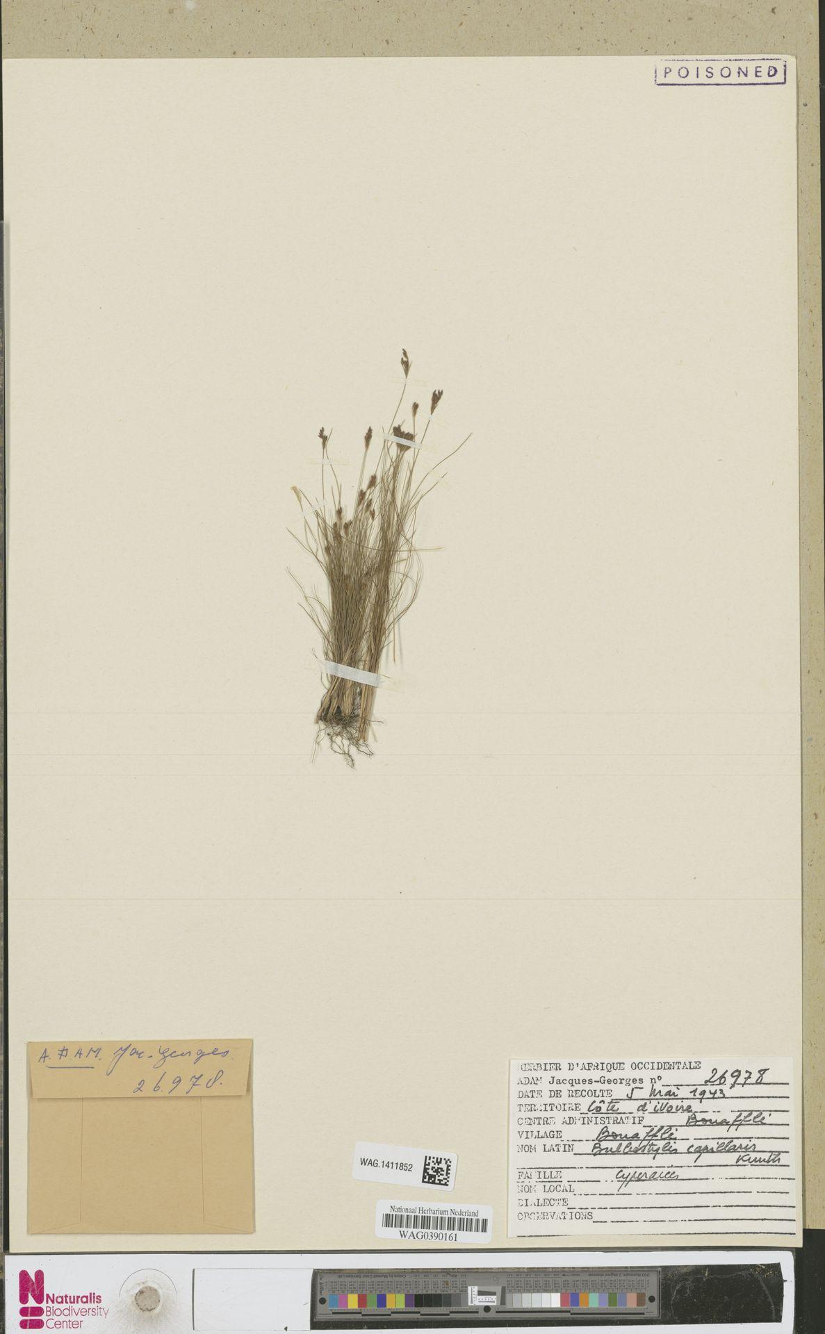WAG.1411852 | Bulbostylis capillaris (L.) Kunth ex C.B.Clarke