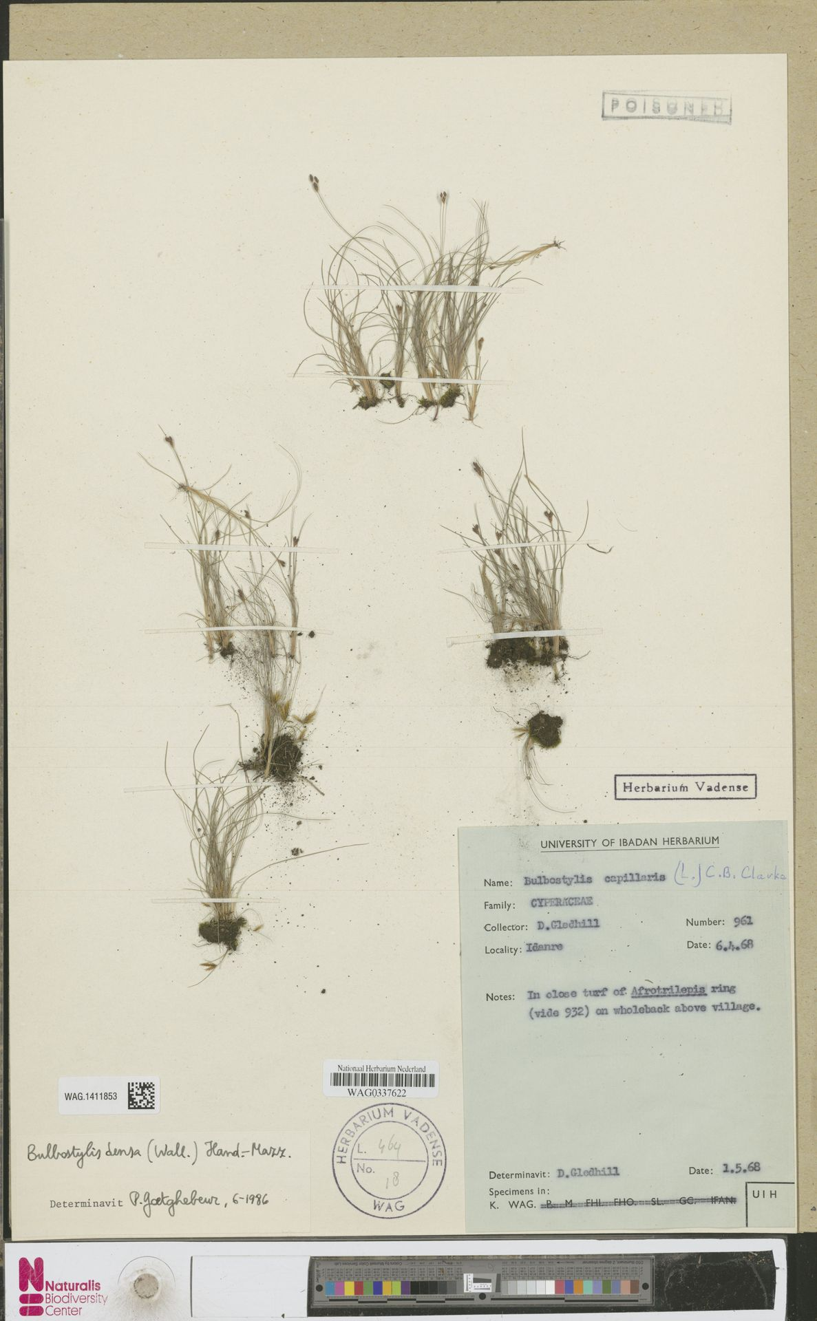 WAG.1411853 | Bulbostylis capillaris (L.) Kunth ex C.B.Clarke