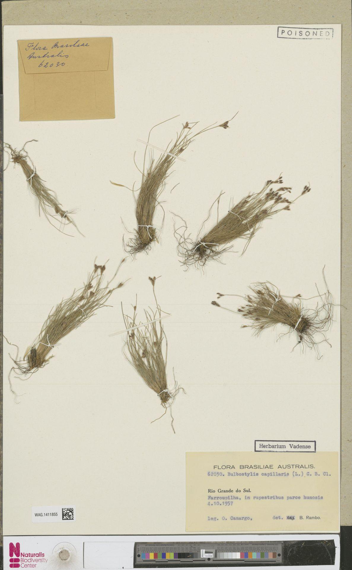 WAG.1411855 | Bulbostylis capillaris (L.) Kunth ex C.B.Clarke
