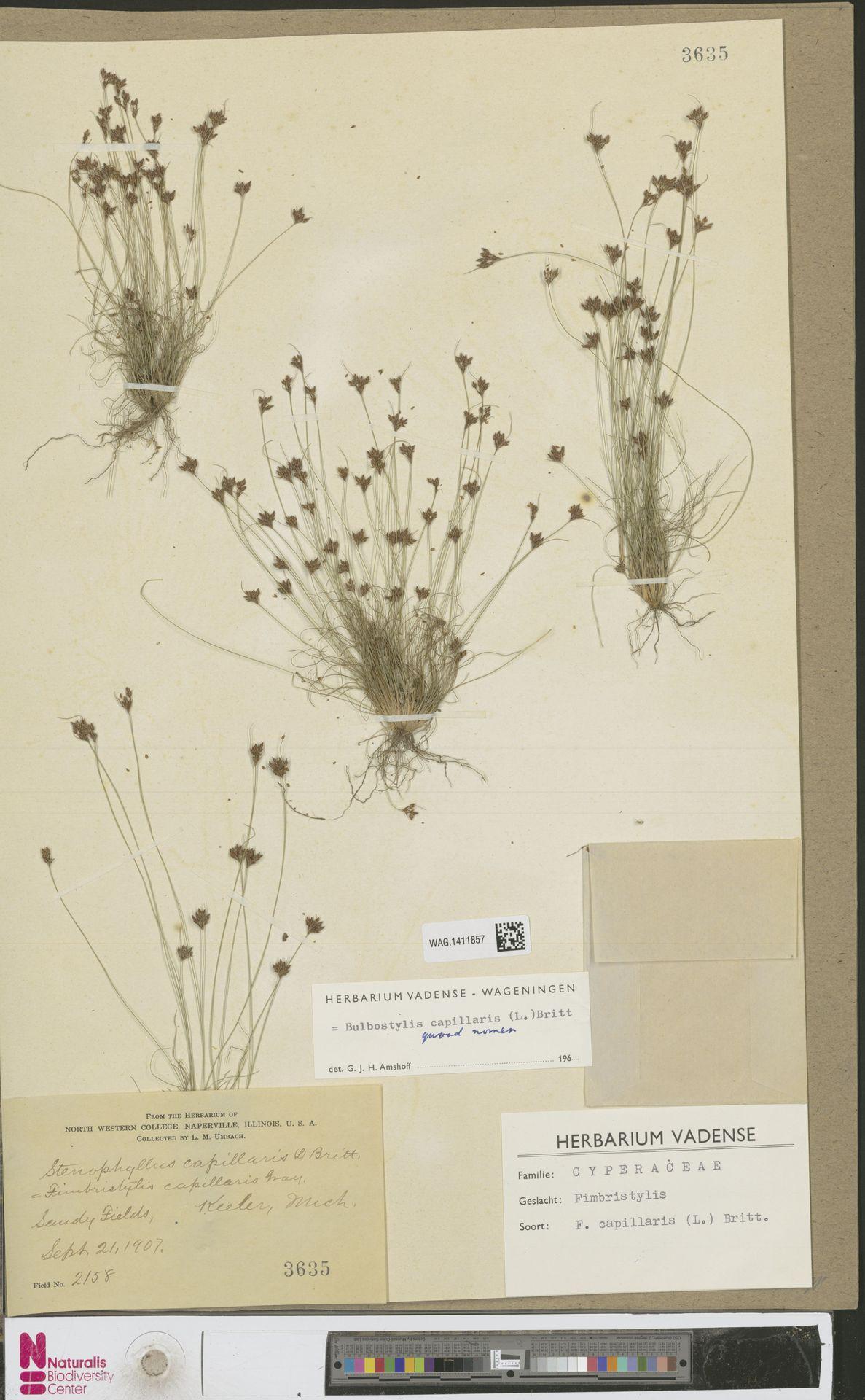 WAG.1411857 | Bulbostylis capillaris (L.) Kunth ex C.B.Clarke