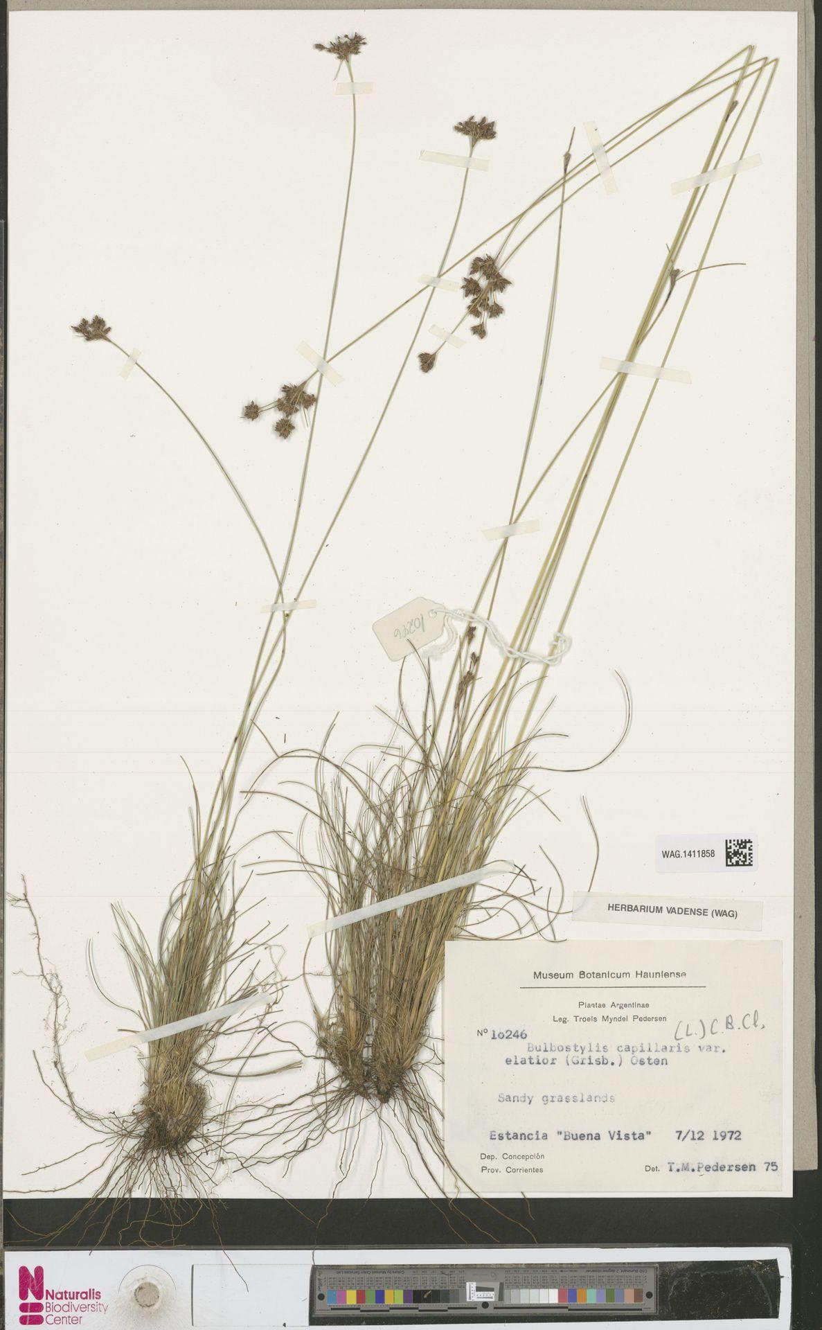WAG.1411858 | Bulbostylis capillaris (L.) Kunth ex C.B.Clarke