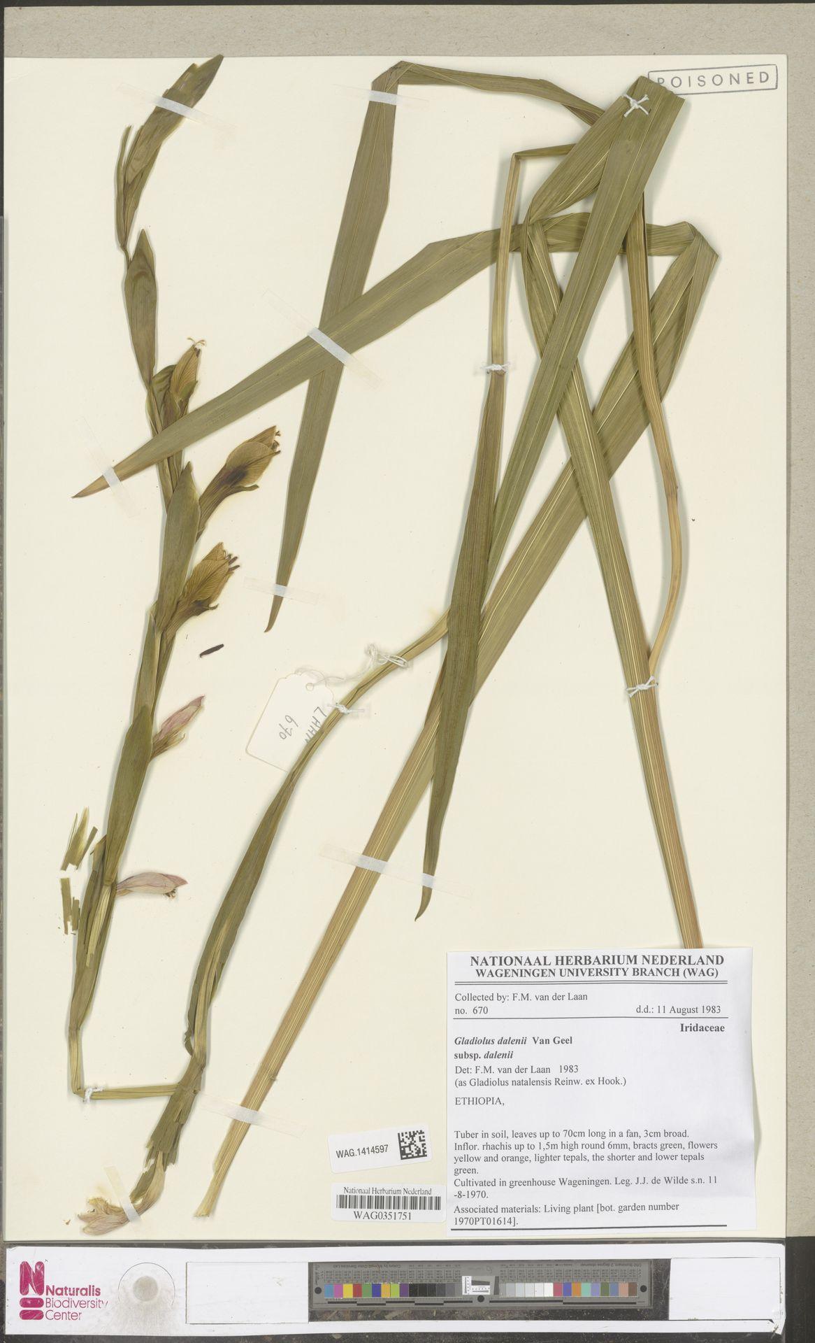 WAG.1414597 | Gladiolus natalensis Reinw. ex Hook.