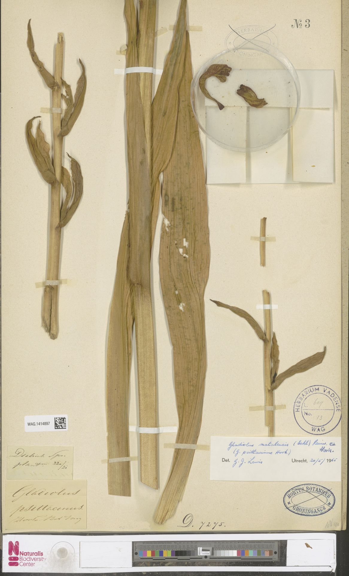 WAG.1414897 | Gladiolus natalensis Reinw. ex Hook.
