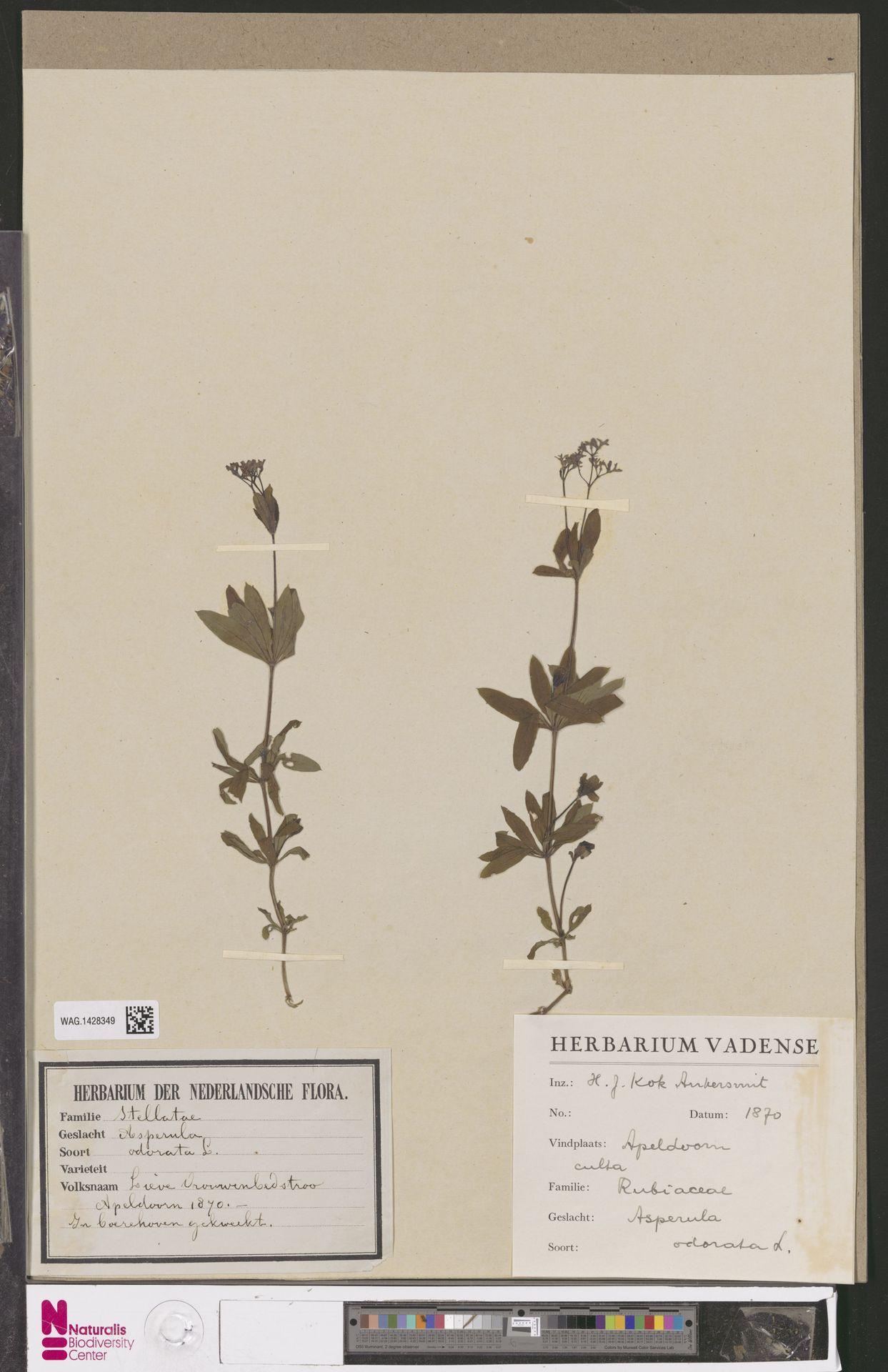 WAG.1428349 | Asperula odorata L.