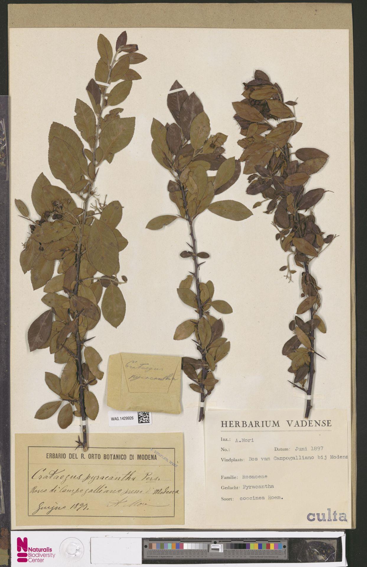 WAG.1429926 | Pyracantha coccinea M.Roem.