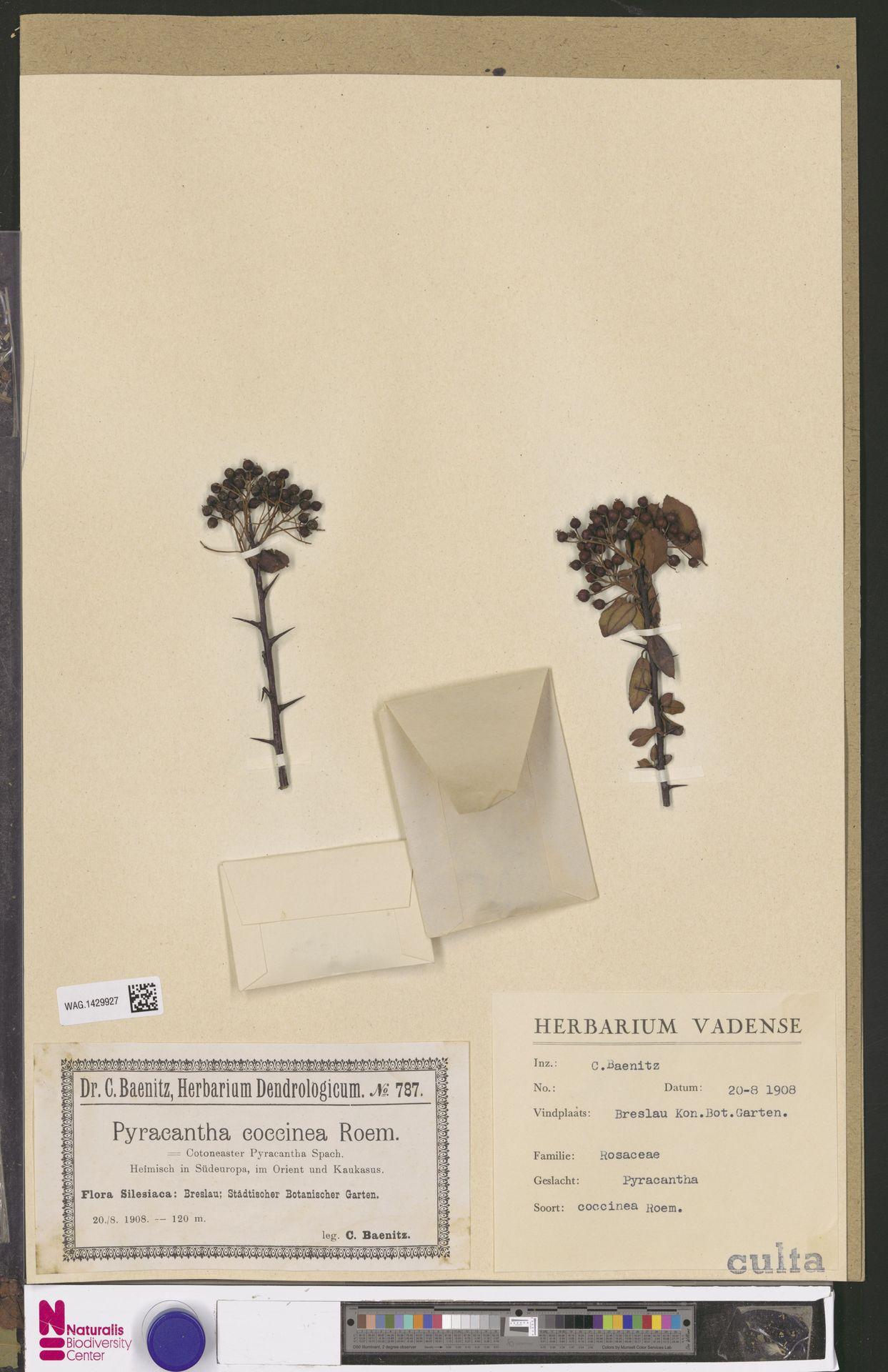 WAG.1429927 | Pyracantha coccinea M.Roem.