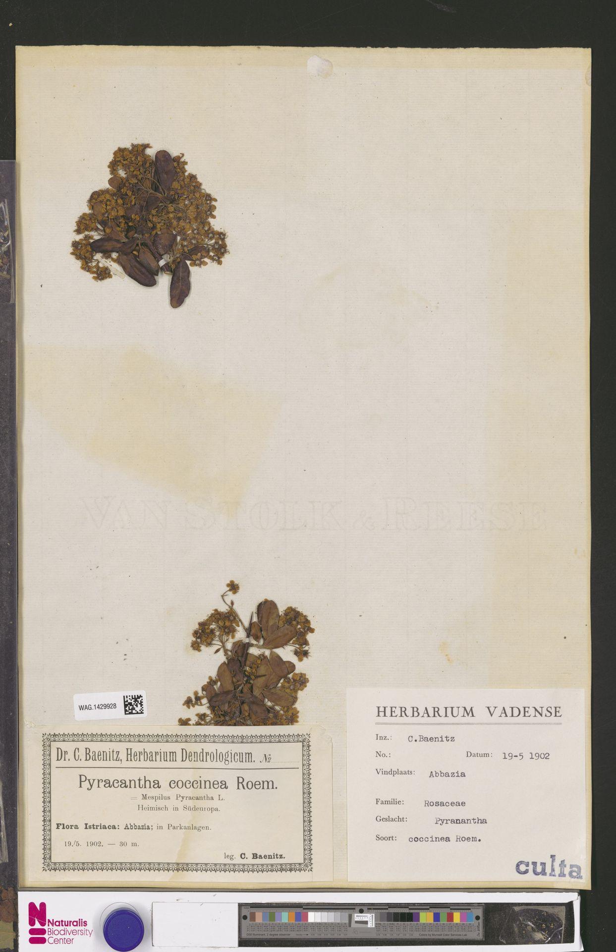 WAG.1429928 | Pyracantha coccinea M.Roem.