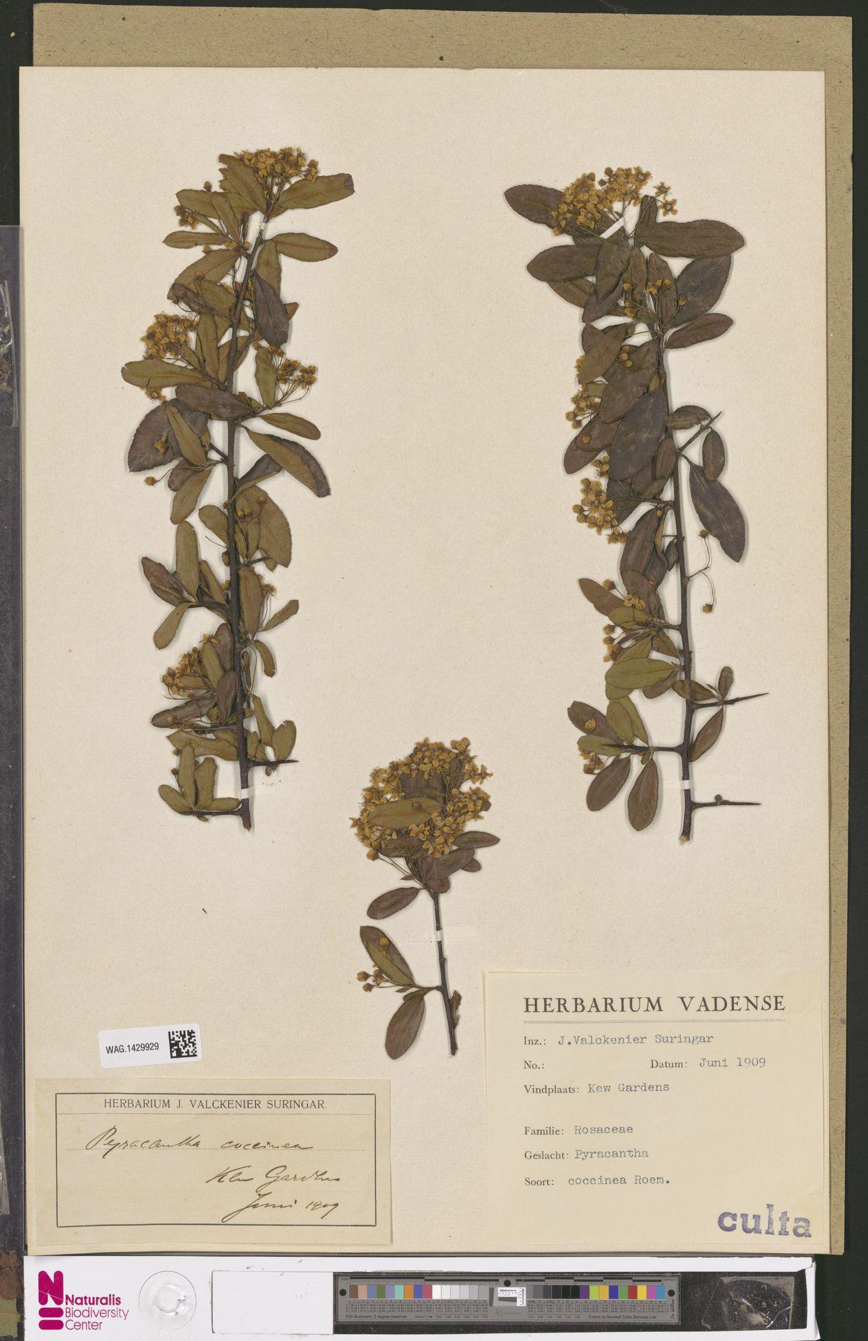 WAG.1429929 | Pyracantha coccinea M.Roem.