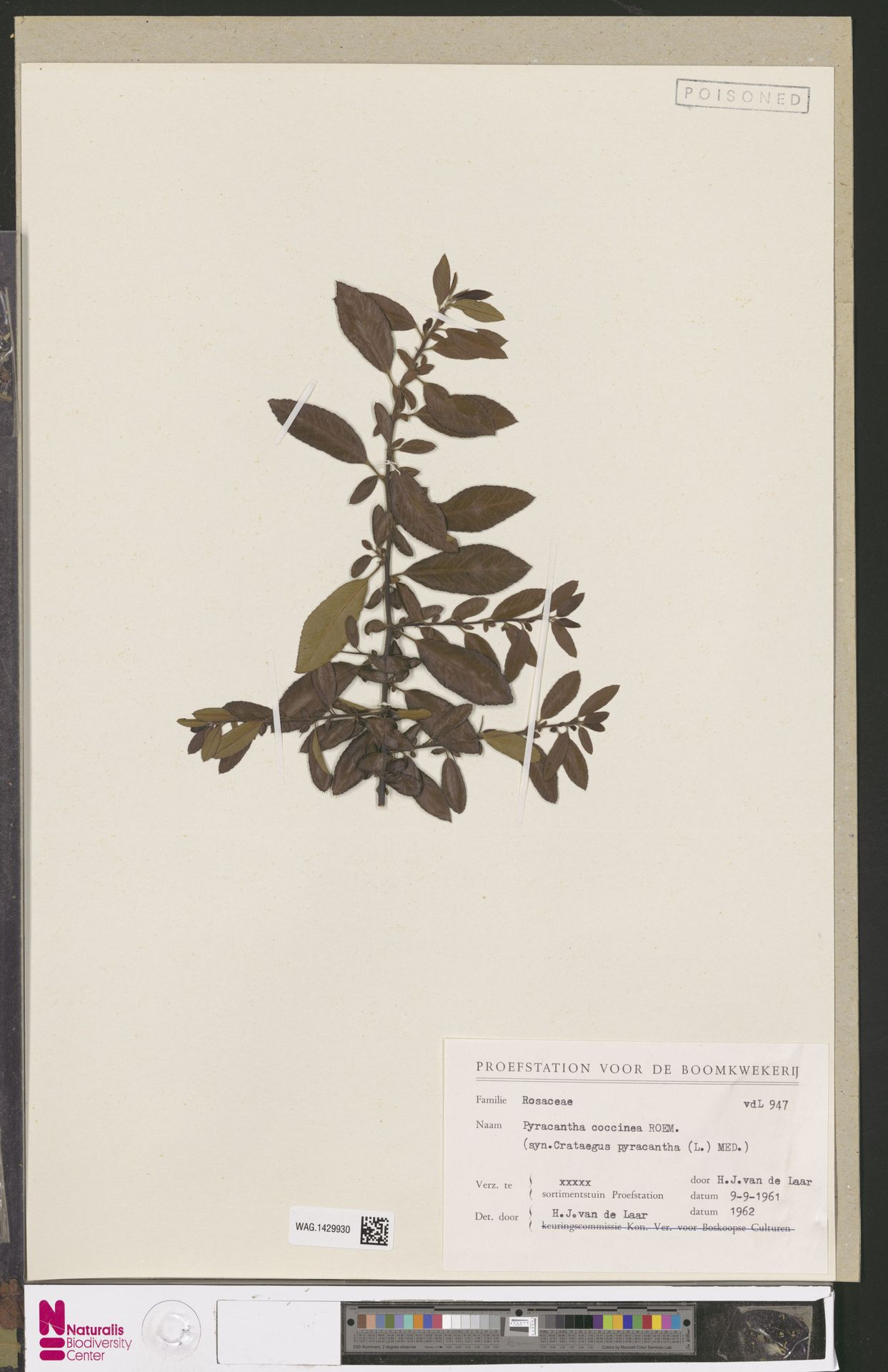 WAG.1429930 | Pyracantha coccinea M.Roem.