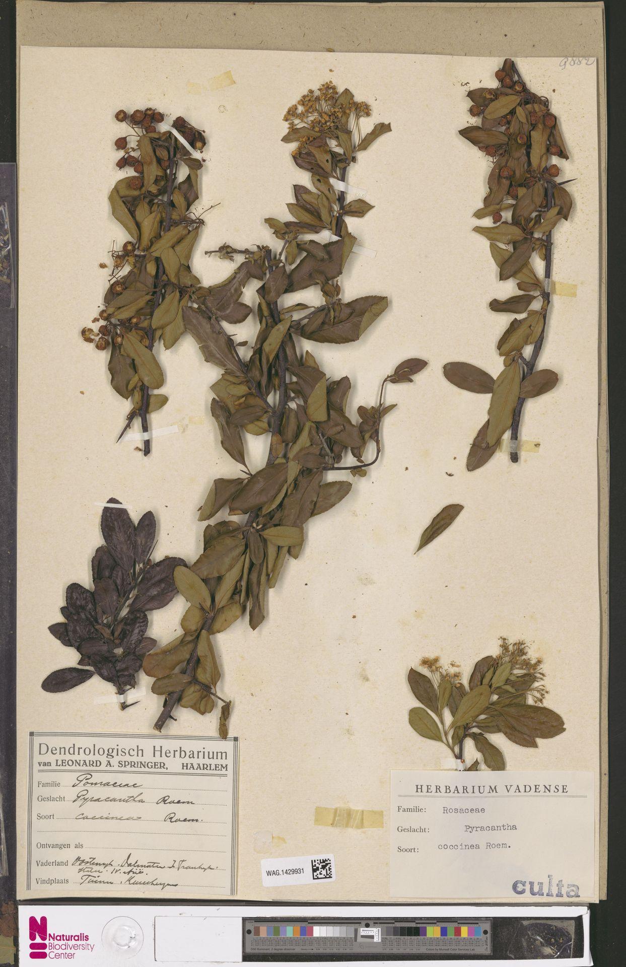 WAG.1429931 | Pyracantha coccinea M.Roem.