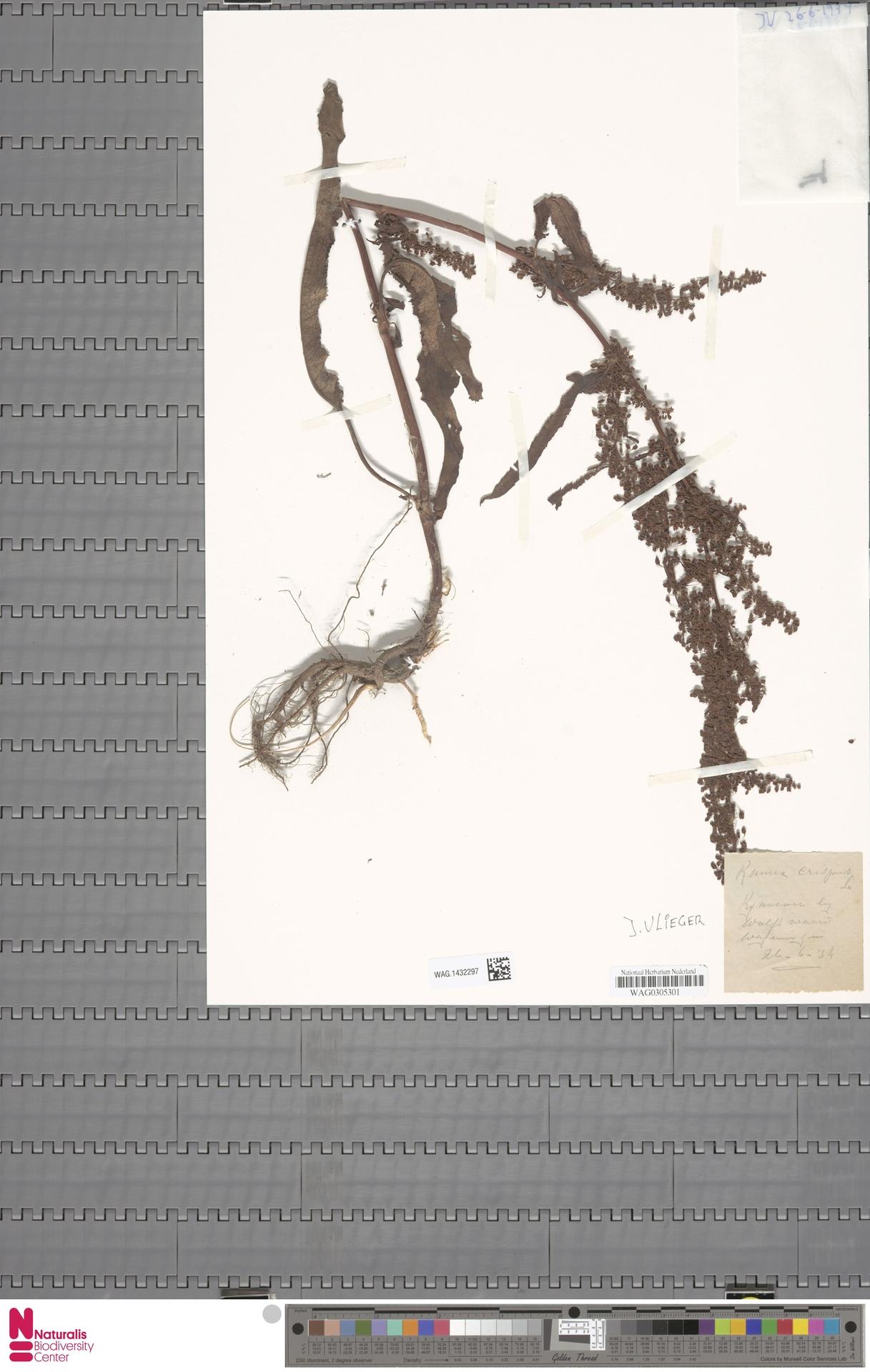 WAG.1432297 | Rumex crispus L.