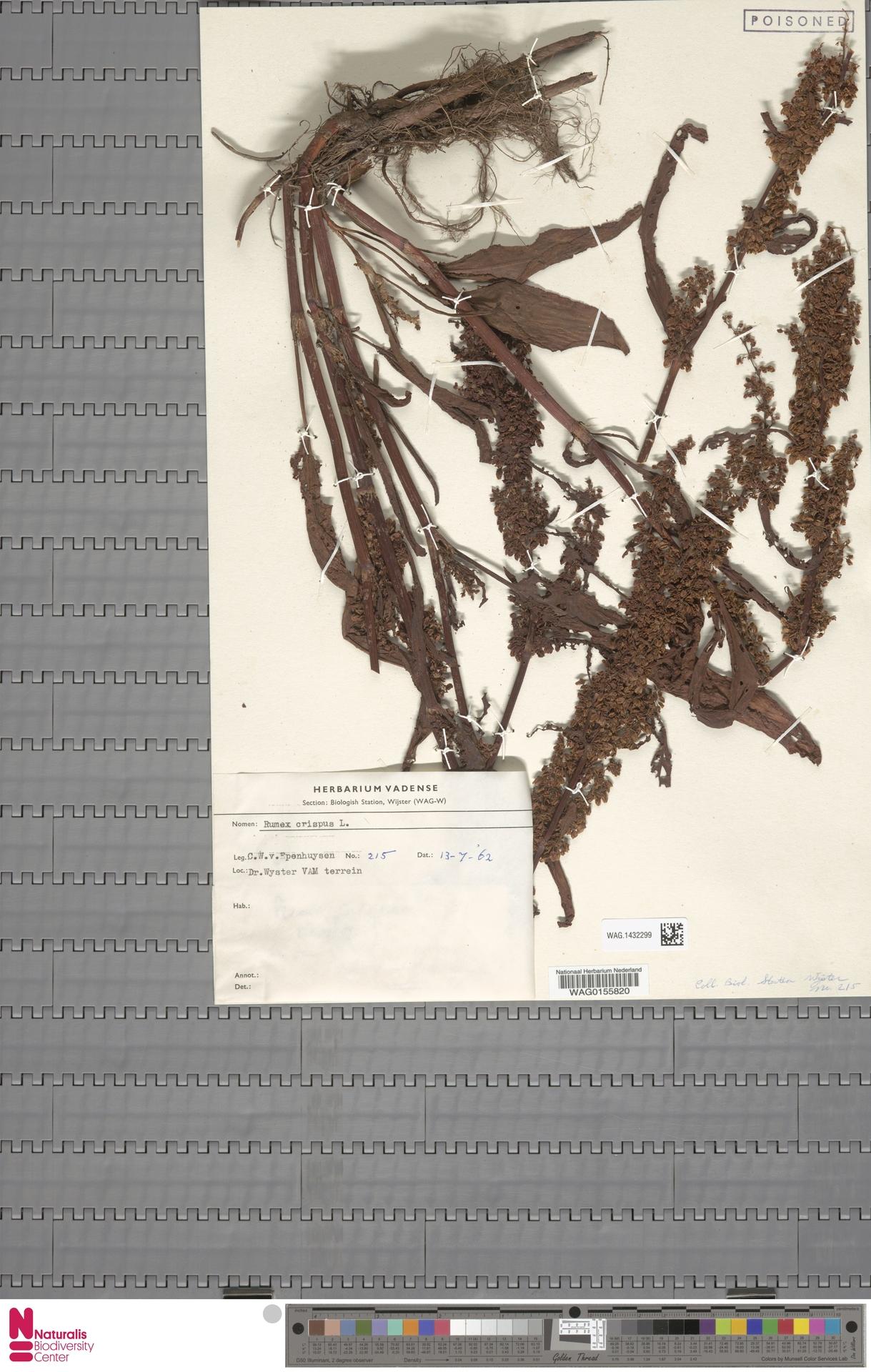 WAG.1432299 | Rumex crispus L.
