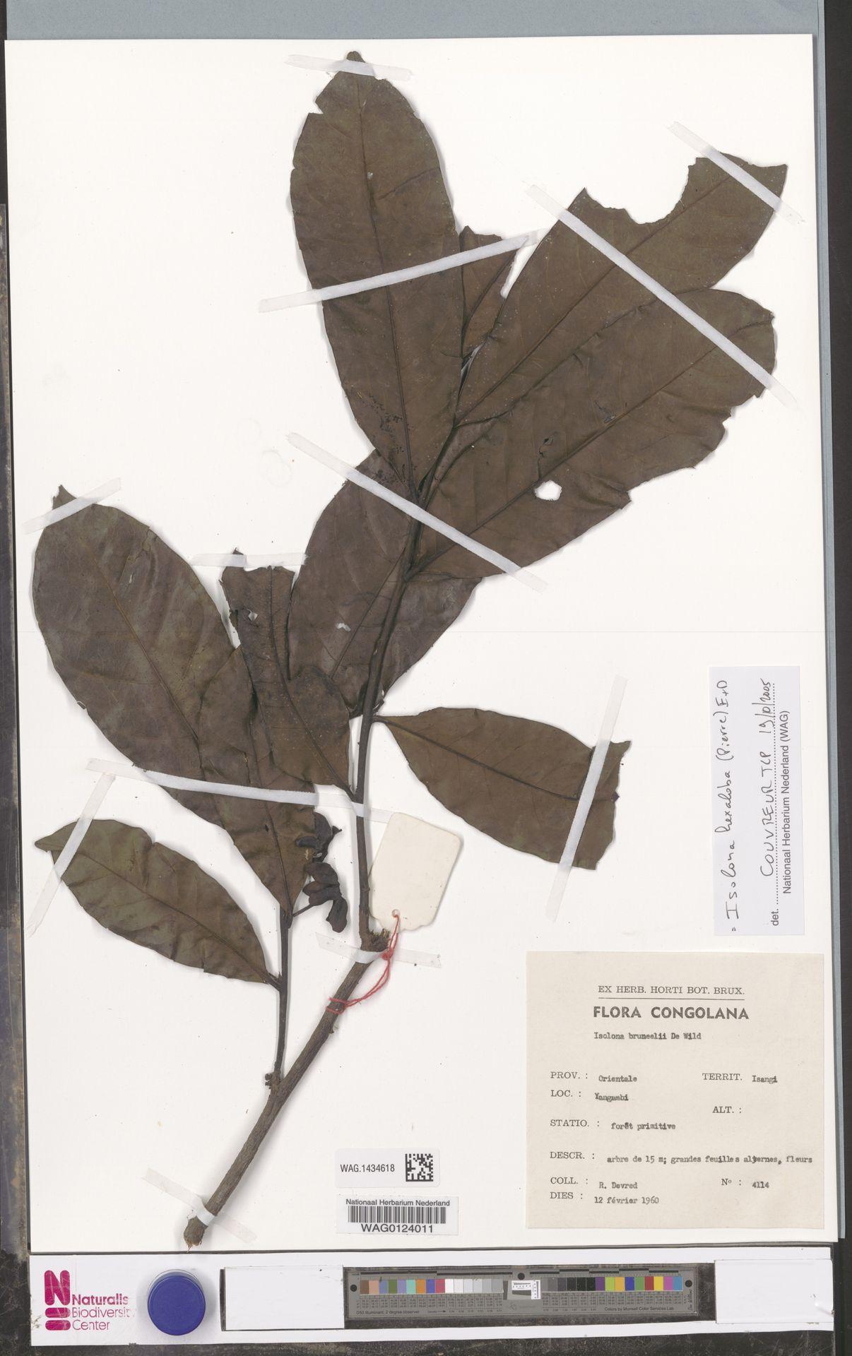 WAG.1434618 | Isolona hexaloba (Pierre) Engl.