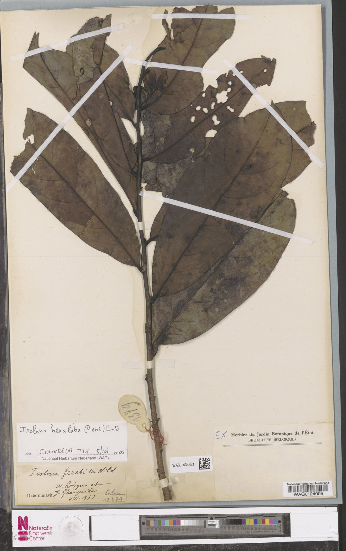 WAG.1434621 | Isolona hexaloba (Pierre) Engl.