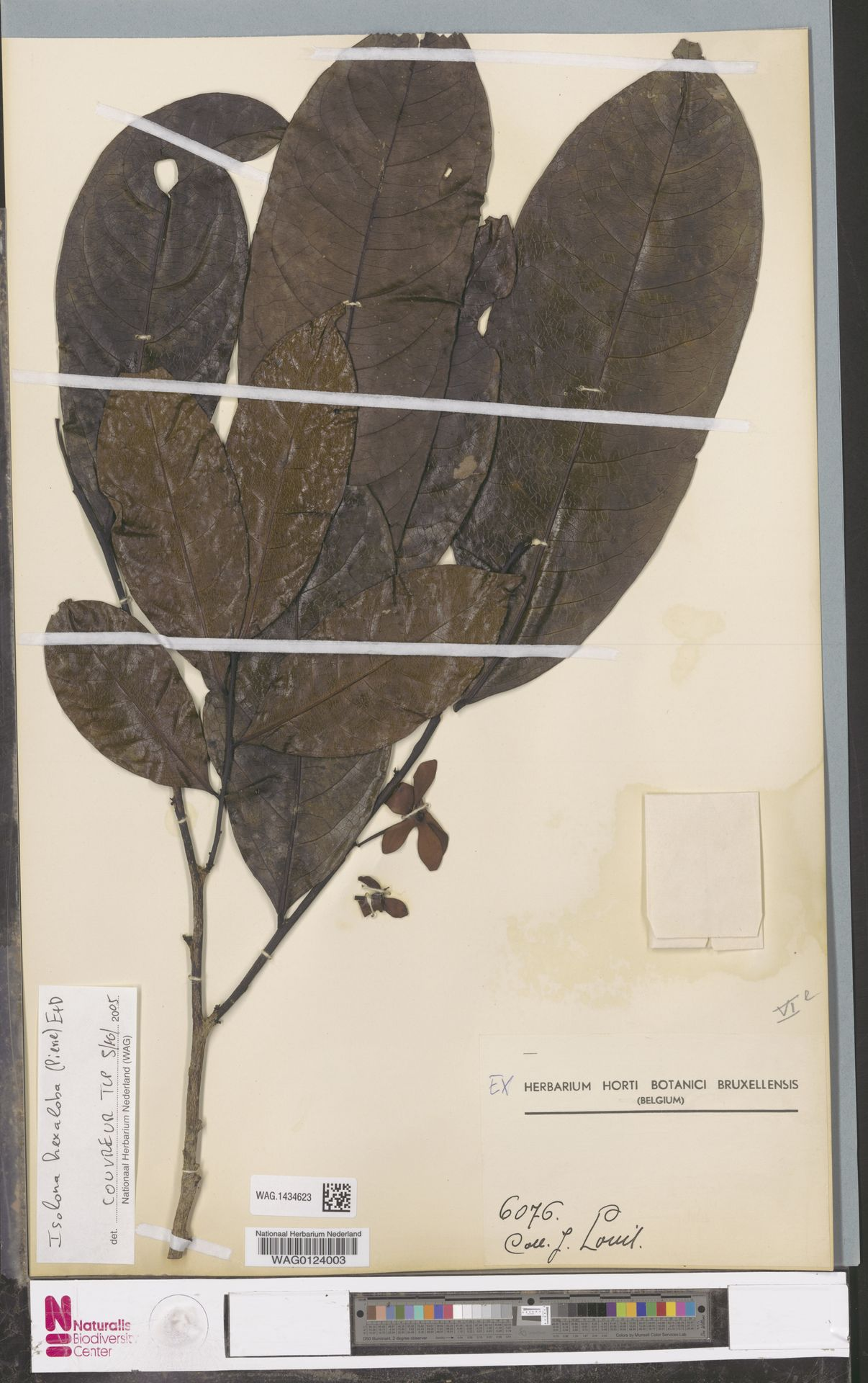 WAG.1434623 | Isolona hexaloba (Pierre) Engl.