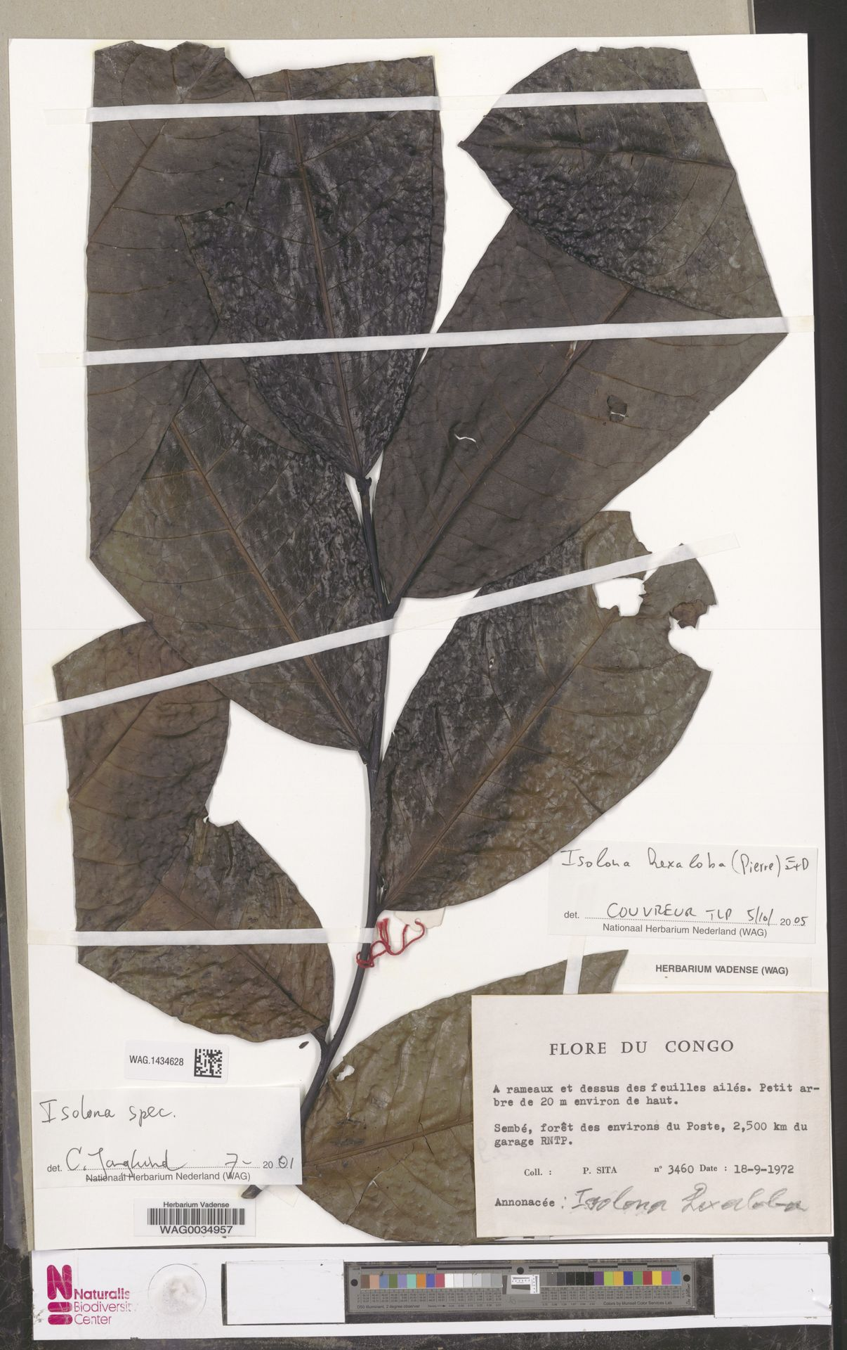 WAG.1434628 | Isolona hexaloba (Pierre) Engl.