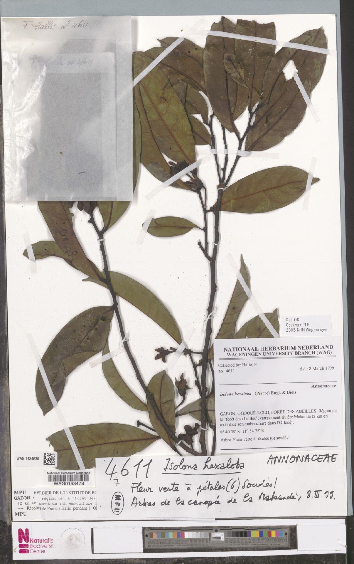 WAG.1434630   Isolona hexaloba (Pierre) Engl.