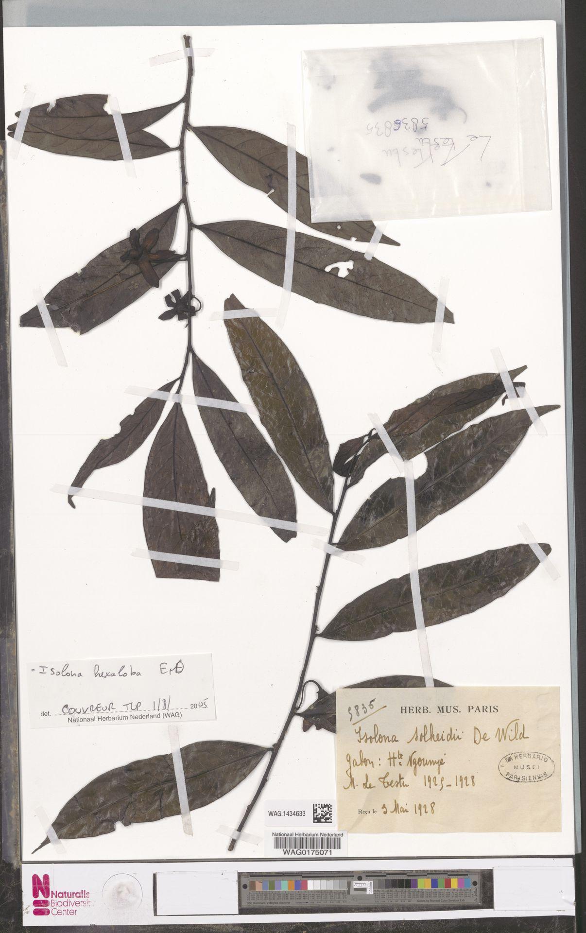 WAG.1434633 | Isolona hexaloba (Pierre) Engl.
