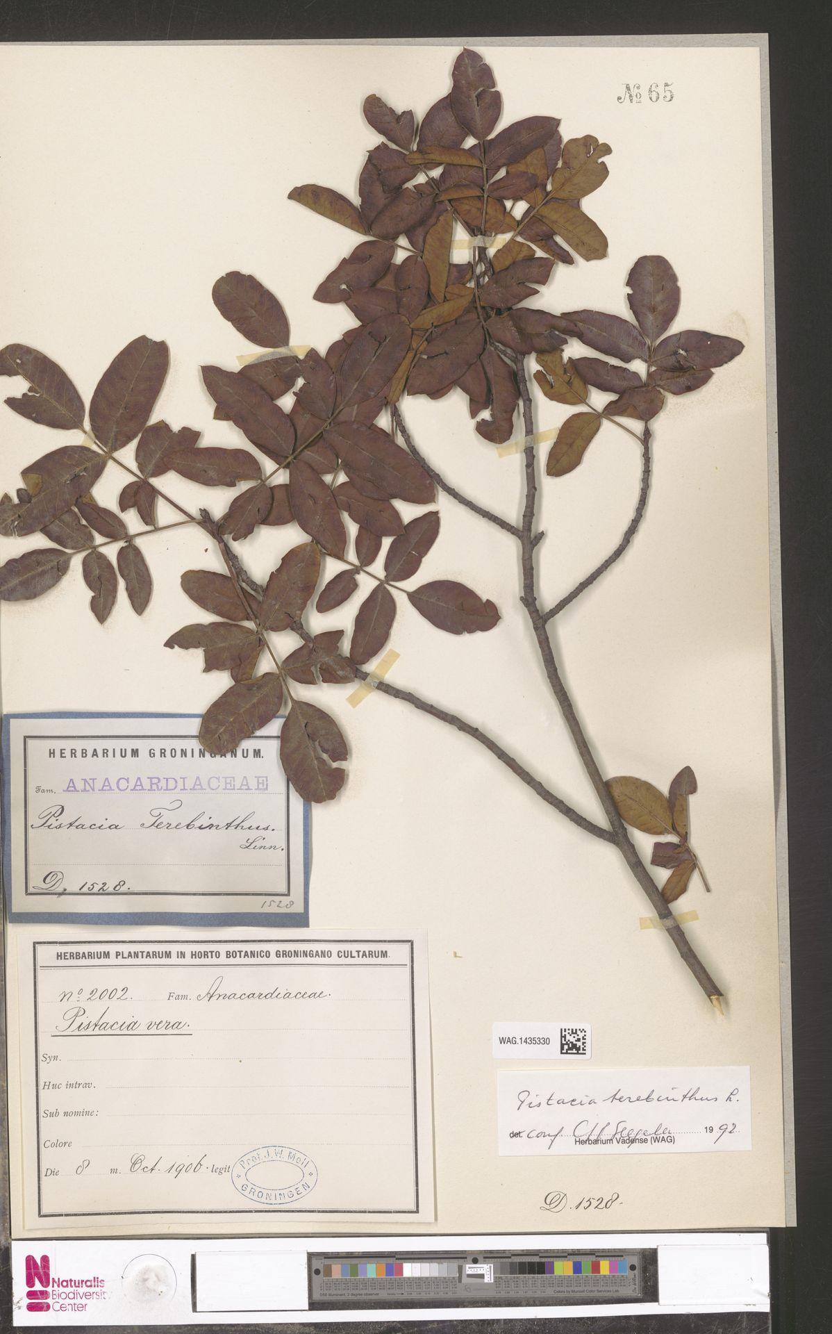 WAG.1435330 | Pistacia terebinthus L.