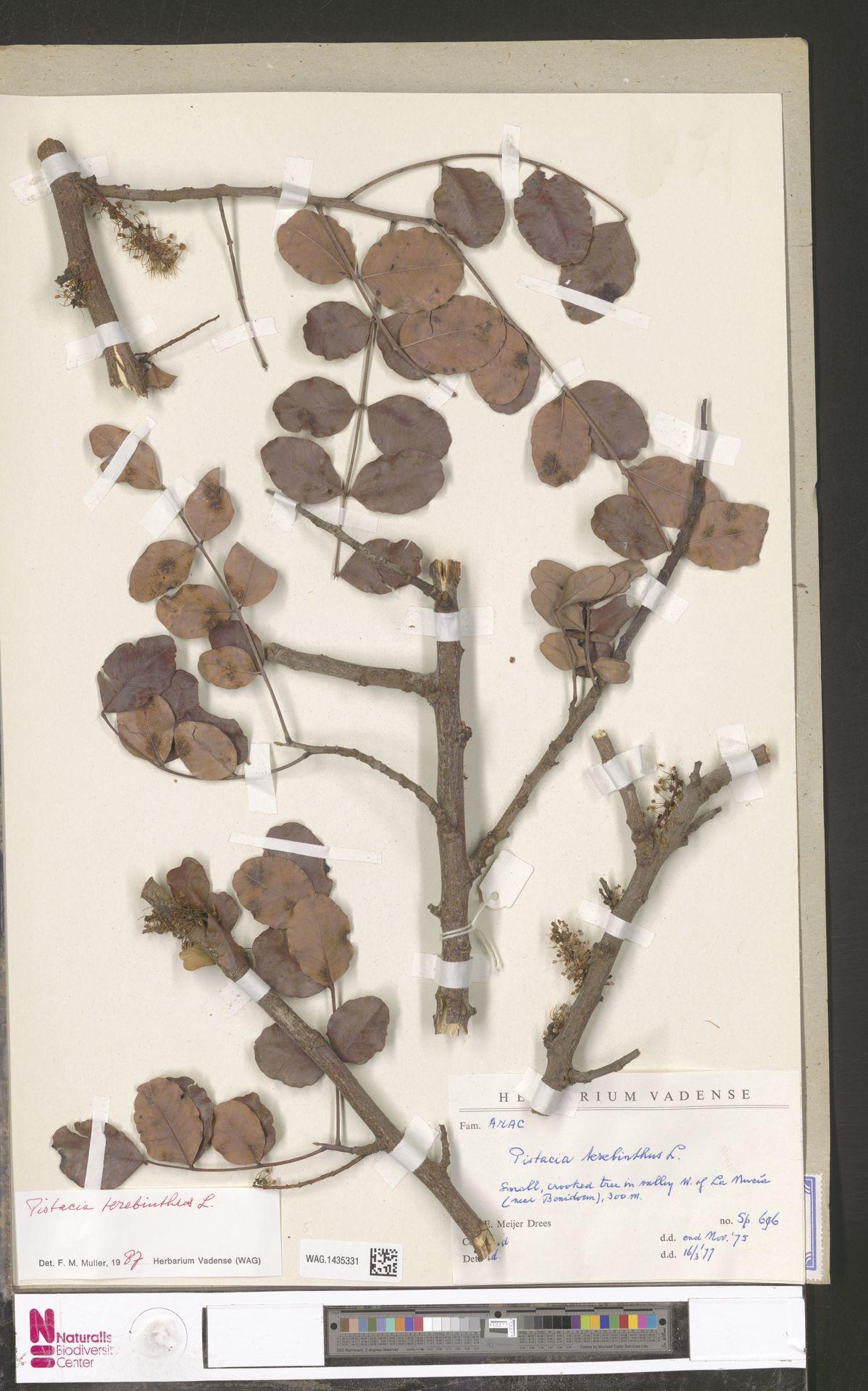 WAG.1435331 | Pistacia terebinthus L.