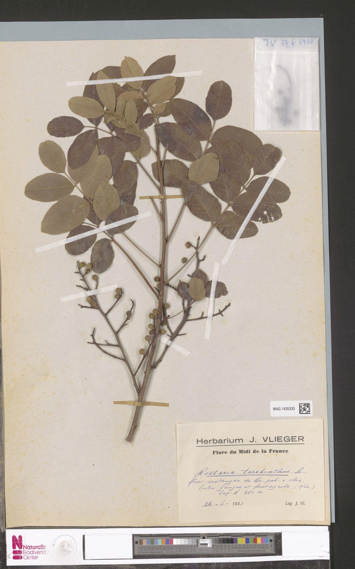 WAG.1435333 | Pistacia terebinthus L.