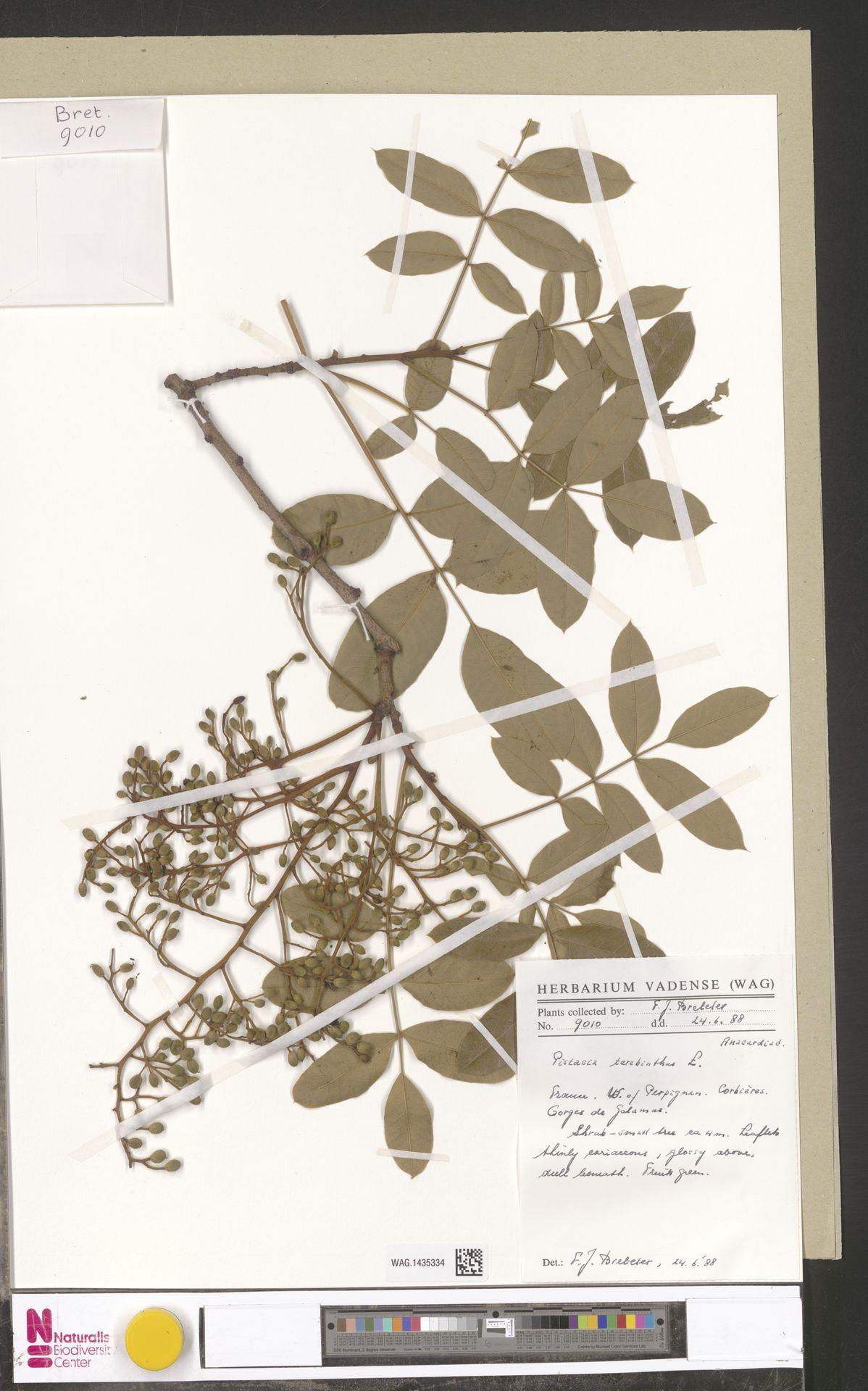 WAG.1435334   Pistacia terebinthus L.