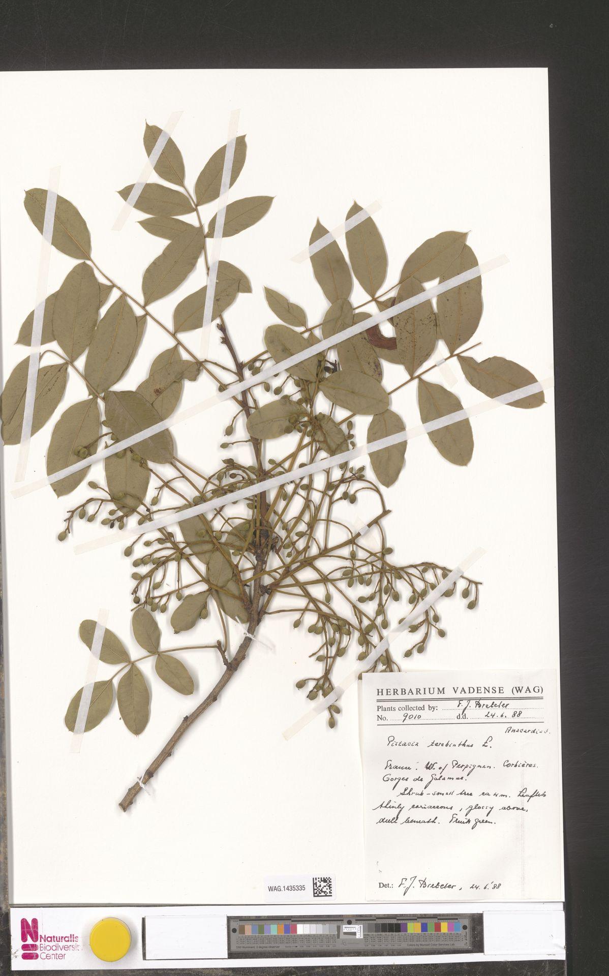 WAG.1435335 | Pistacia terebinthus L.