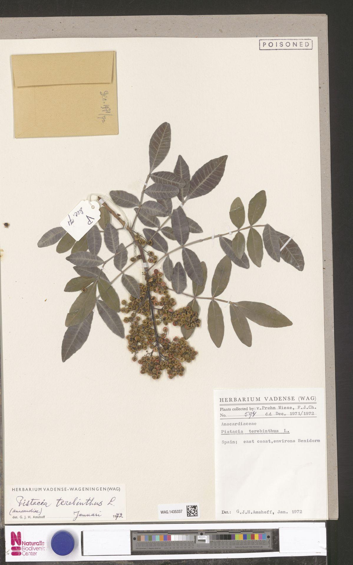 WAG.1435337 | Pistacia terebinthus L.