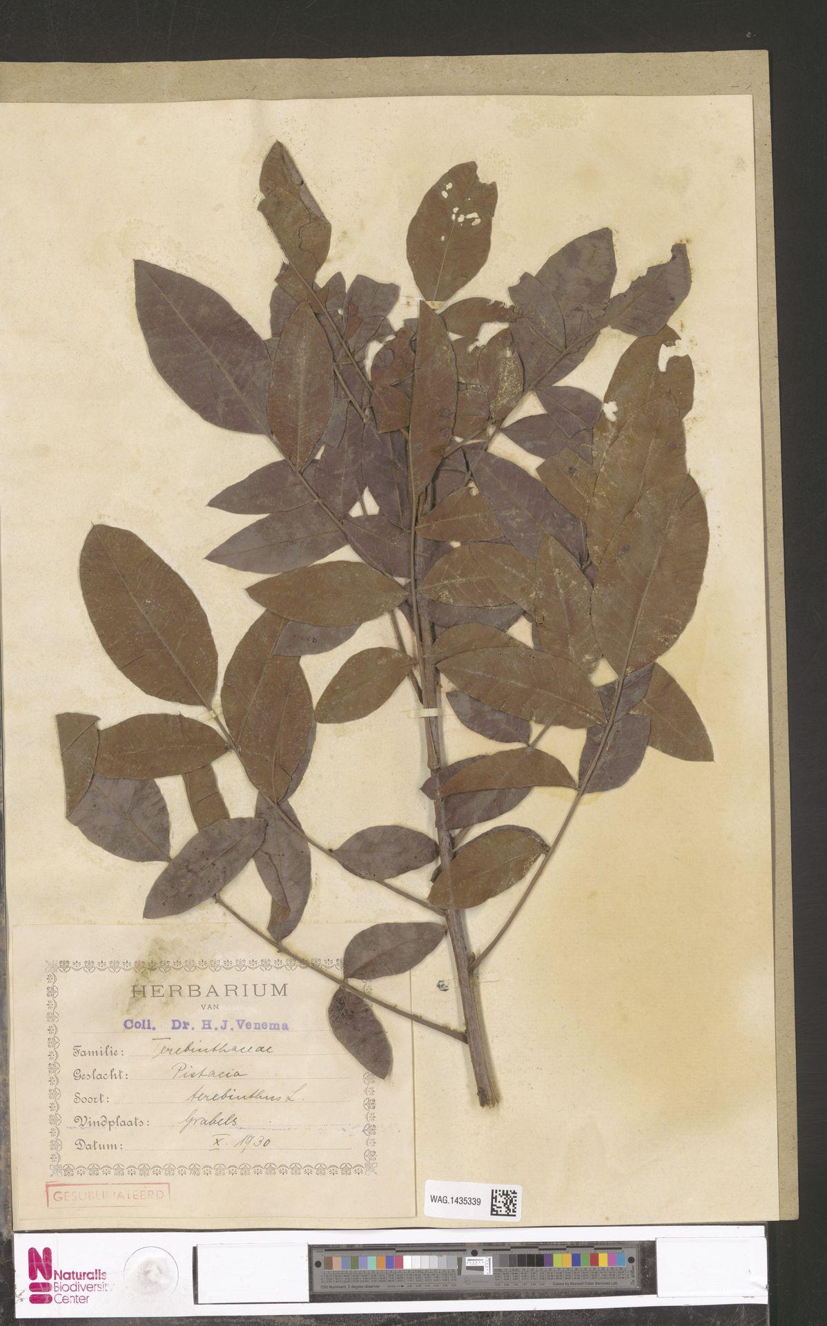 WAG.1435339 | Pistacia terebinthus L.