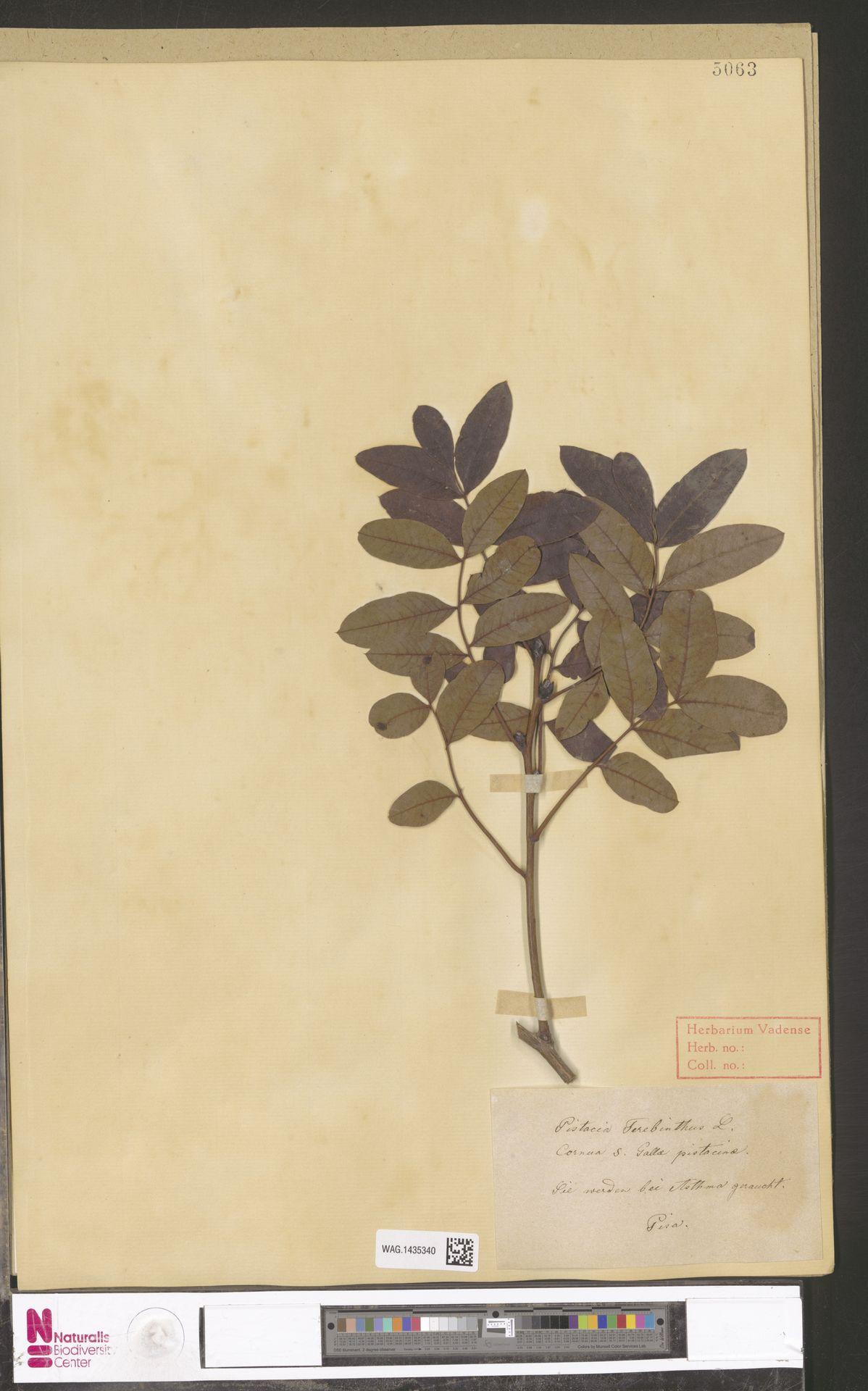 WAG.1435340   Pistacia terebinthus L.