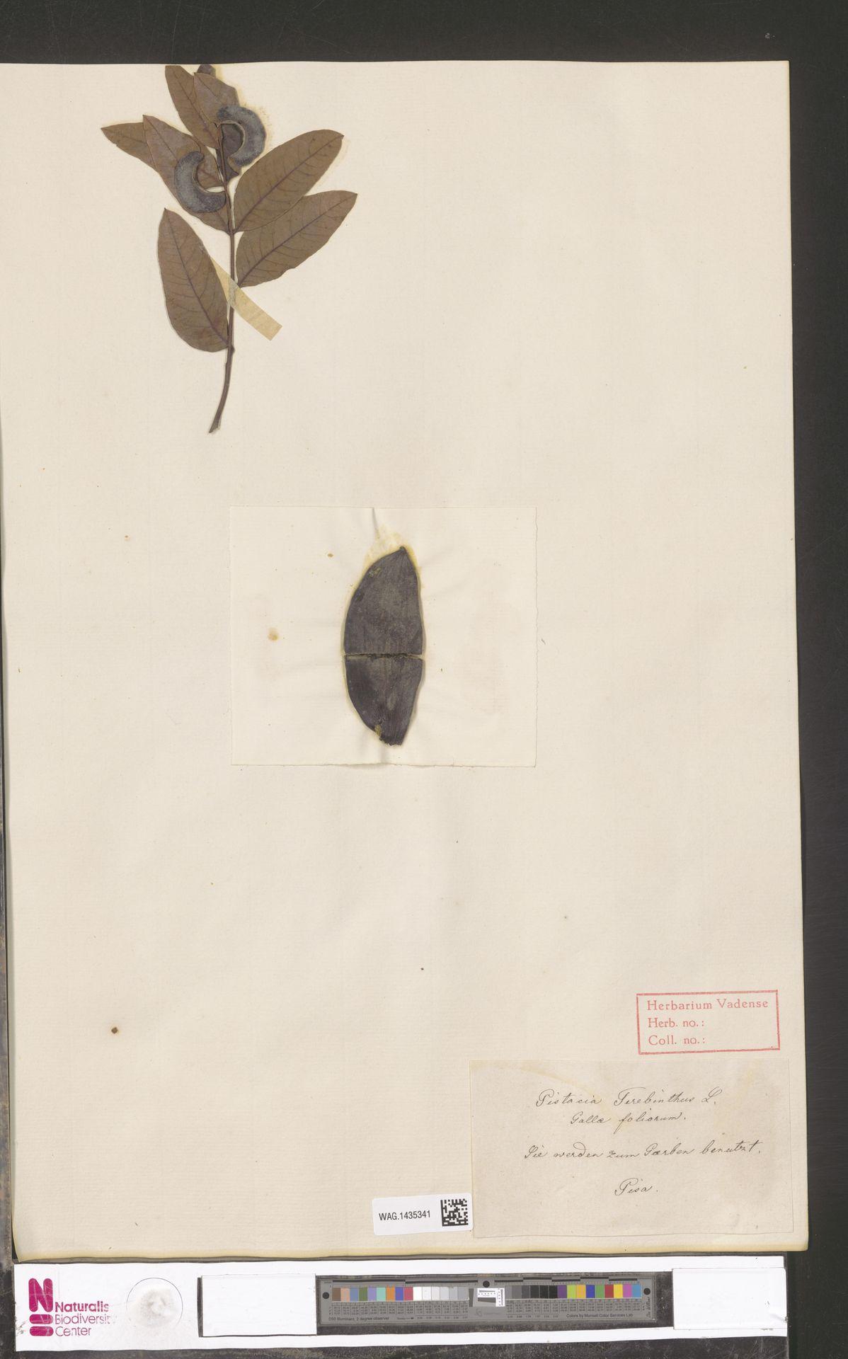 WAG.1435341 | Pistacia terebinthus L.
