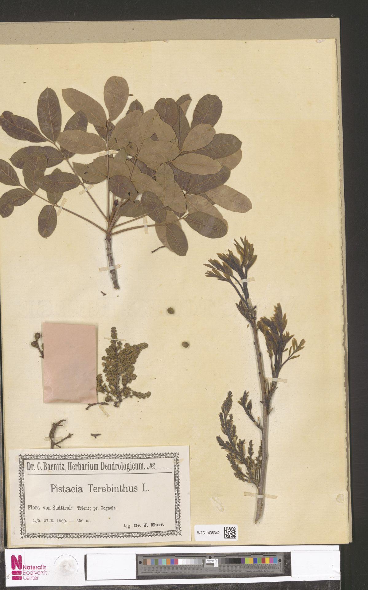WAG.1435342 | Pistacia terebinthus L.