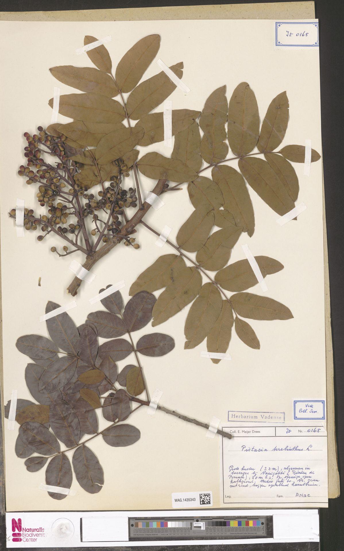 WAG.1435343 | Pistacia terebinthus L.