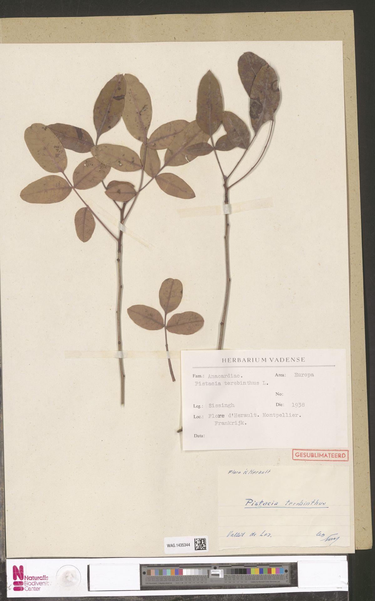 WAG.1435344 | Pistacia terebinthus L.