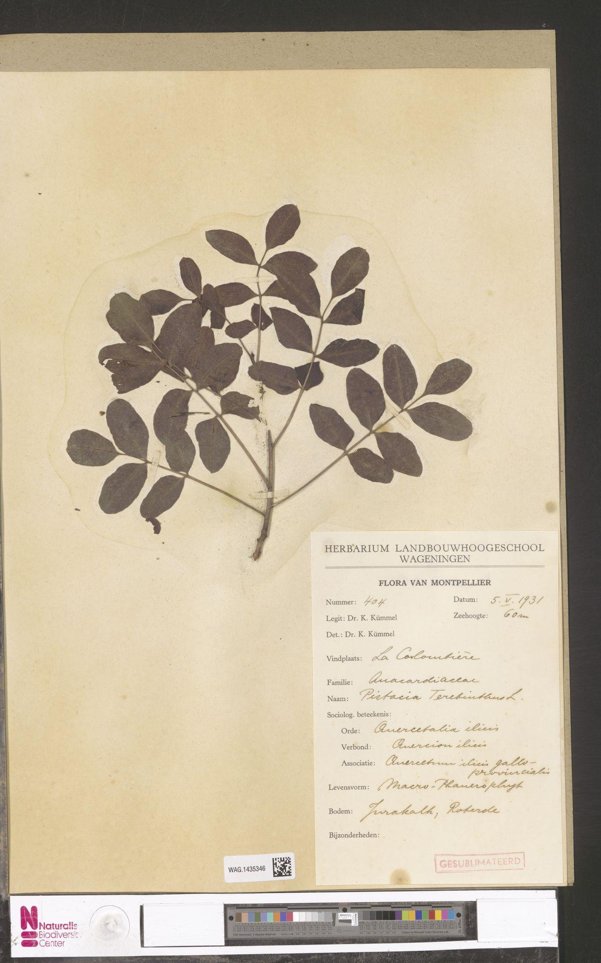 WAG.1435346 | Pistacia terebinthus L.