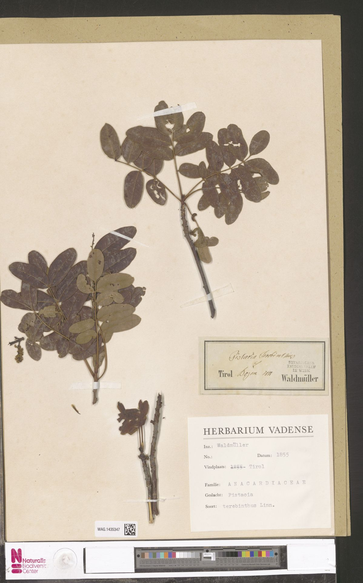 WAG.1435347 | Pistacia terebinthus L.