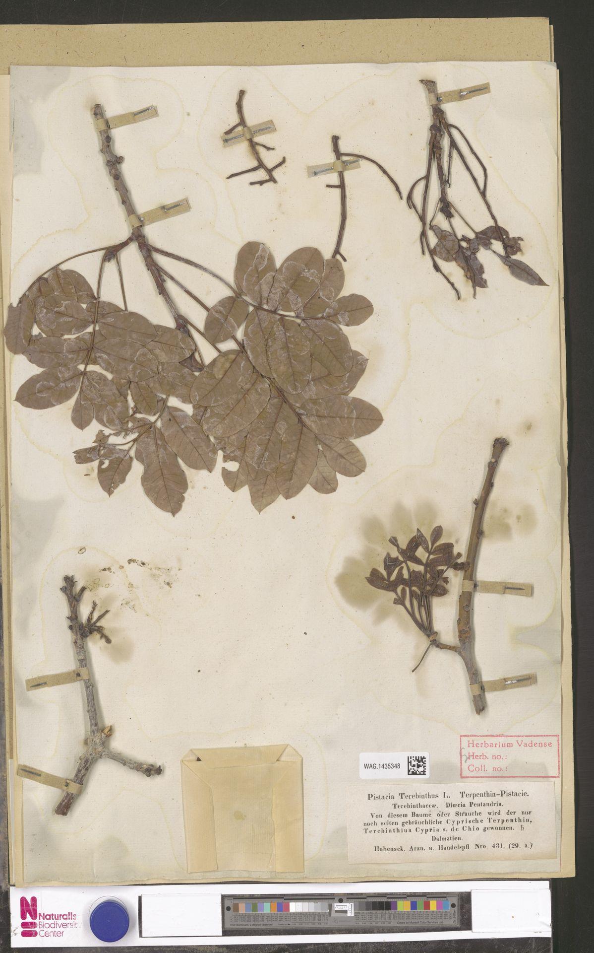 WAG.1435348 | Pistacia terebinthus L.