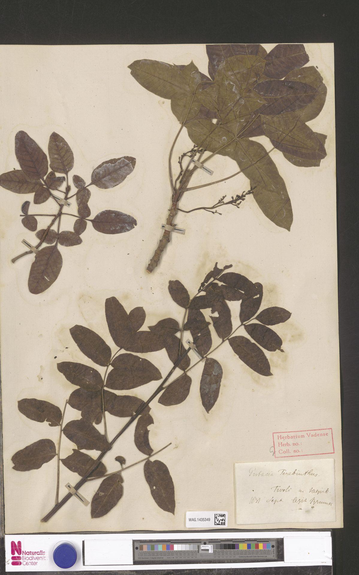 WAG.1435349 | Pistacia terebinthus L.