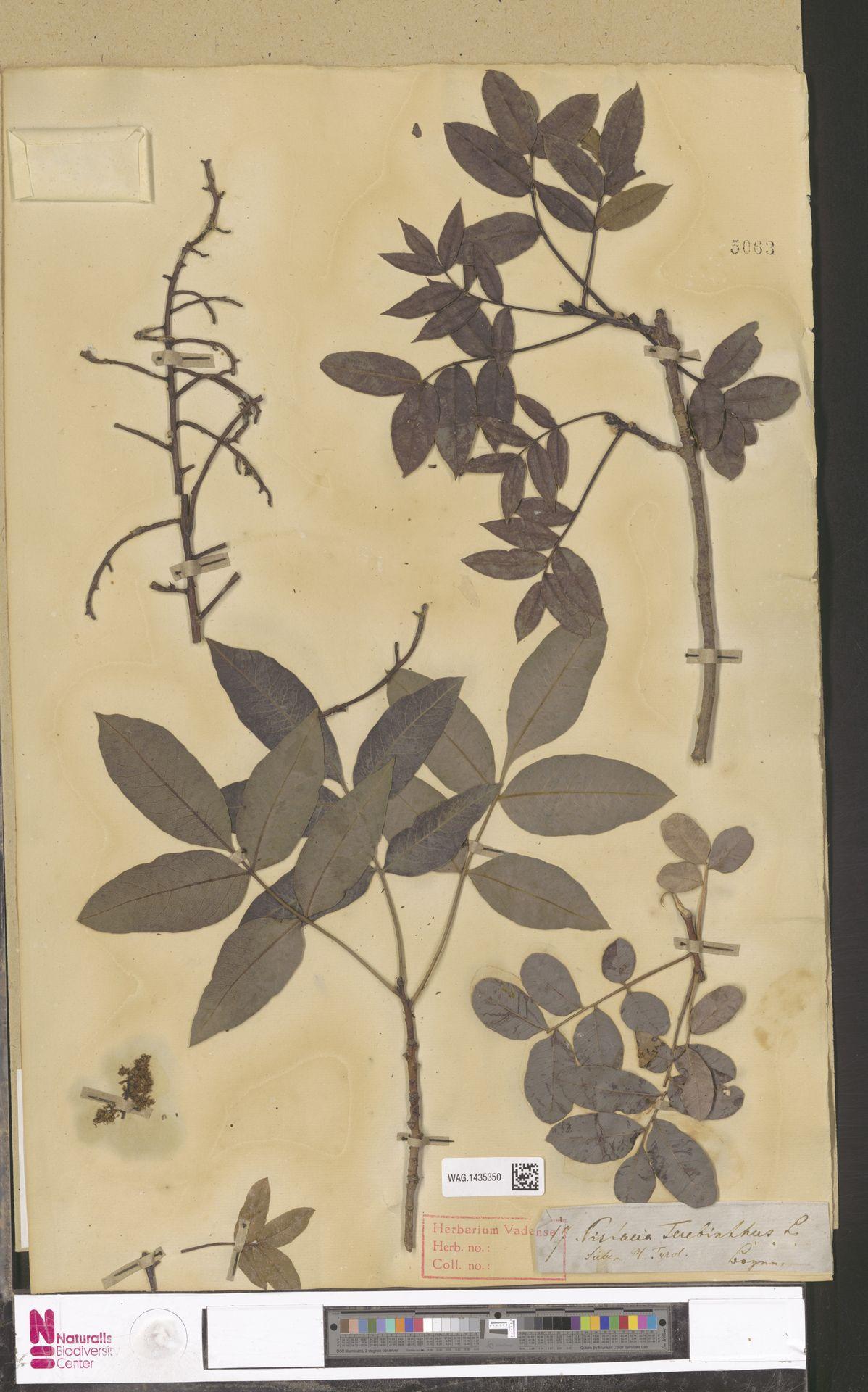 WAG.1435350 | Pistacia terebinthus L.