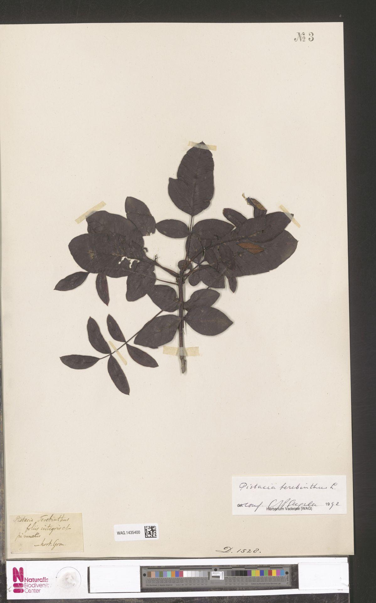 WAG.1435400 | Pistacia terebinthus L.