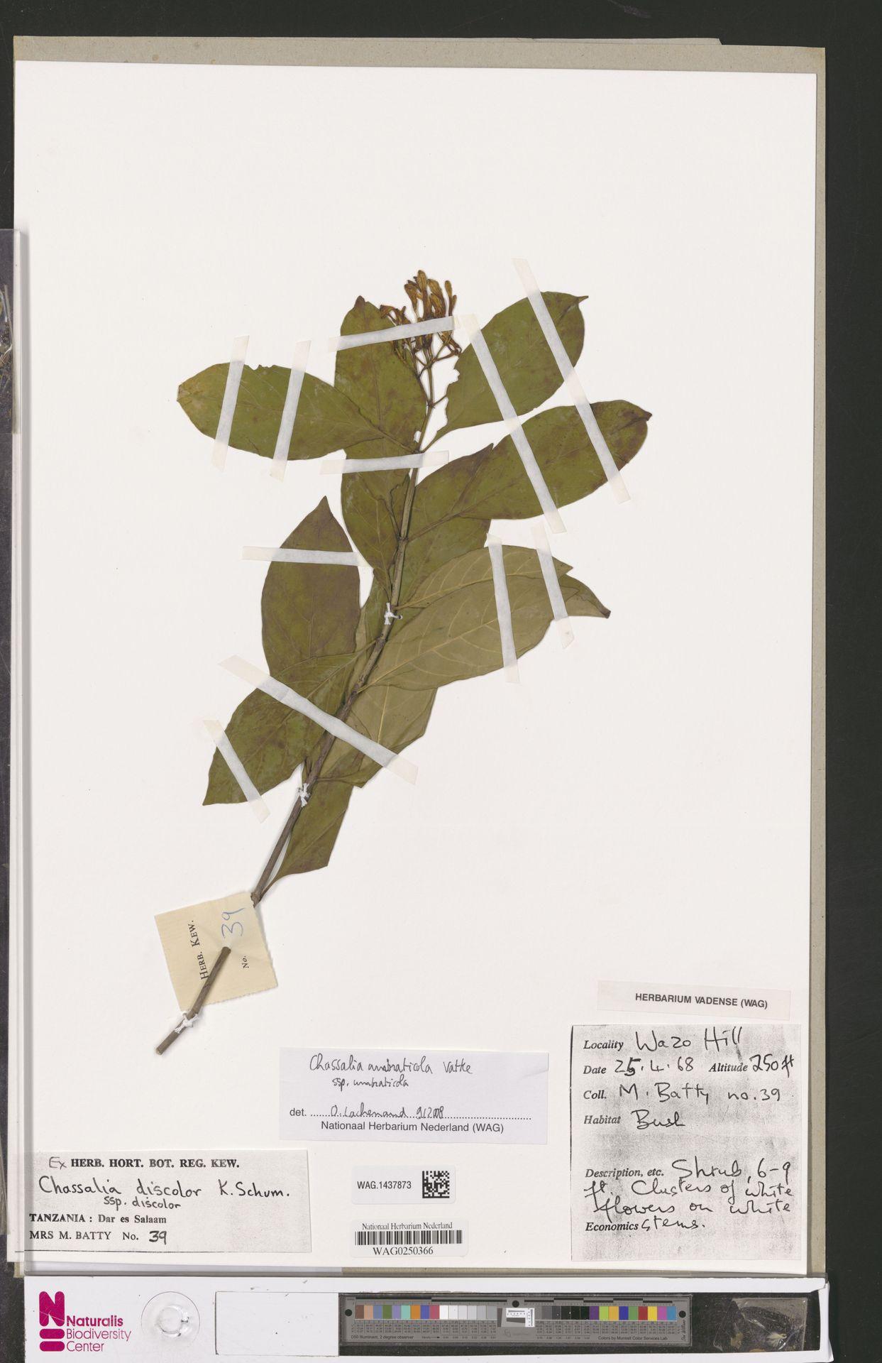 WAG.1437873 | Chassalia umbraticola subsp. umbraticola