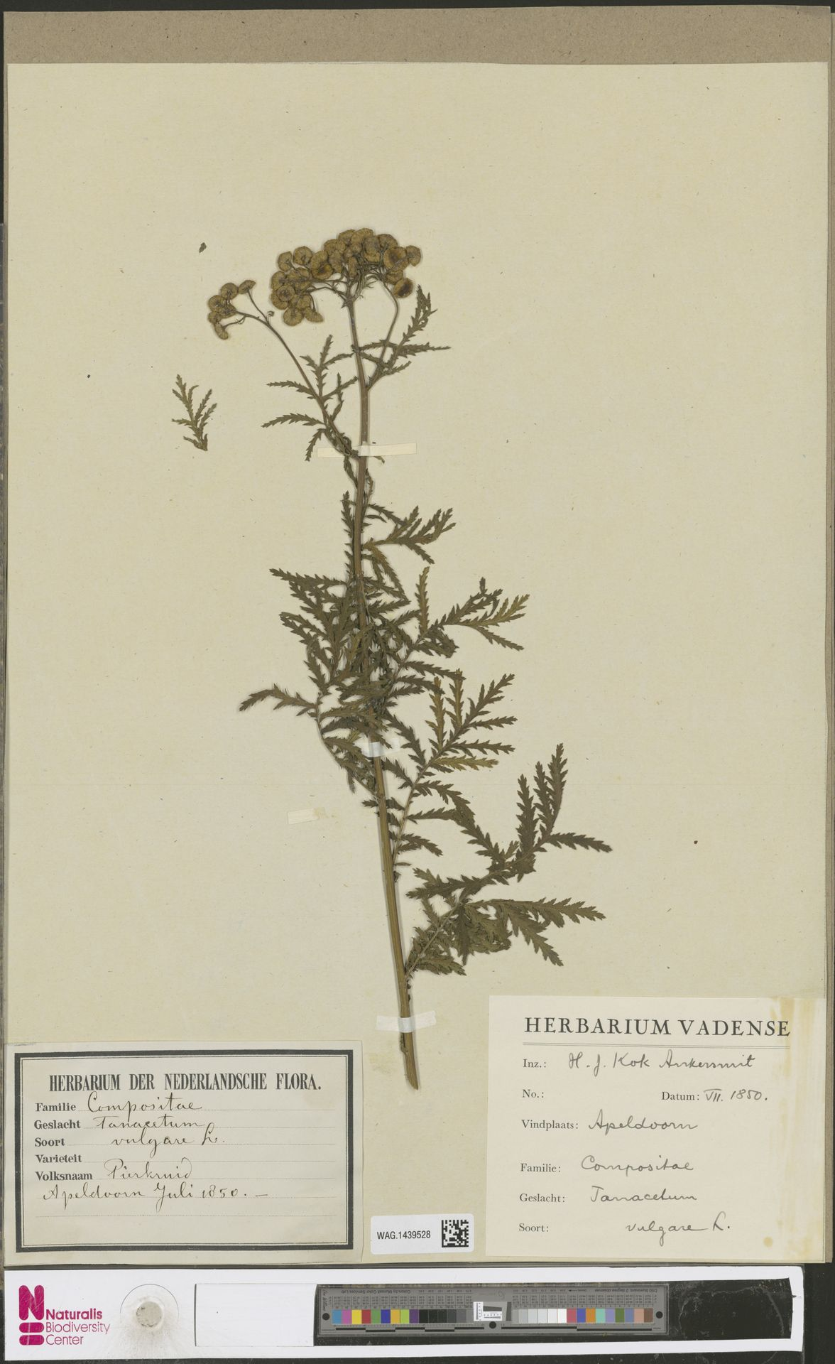 WAG.1439528   Tanacetum vulgare L.