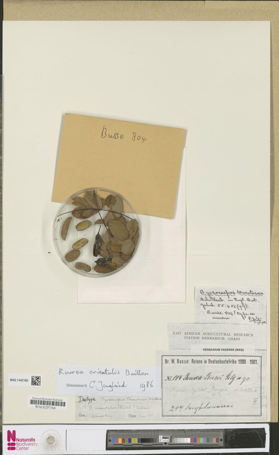 WAG.1442160 | Rourea orientalis Baill.