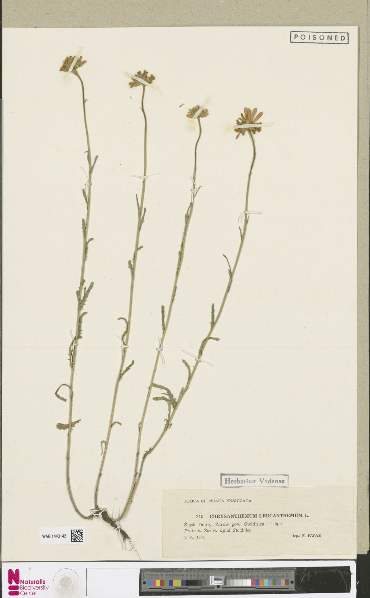 WAG.1443142 | Leucanthemum vulgare Lam.