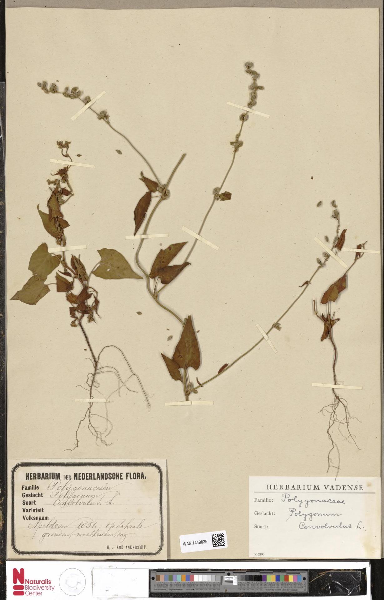 WAG.1449835 | Polygonum convolvulus L.