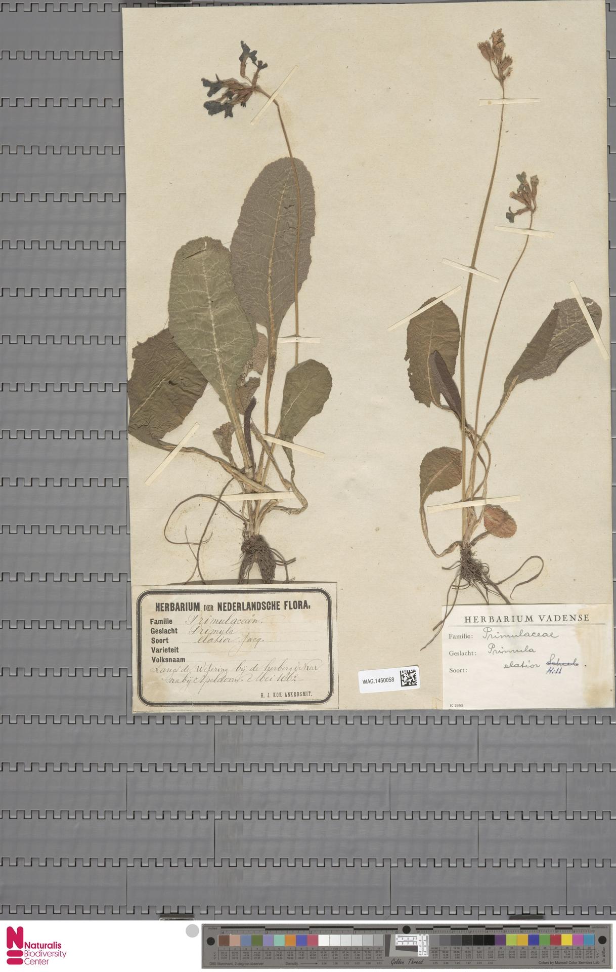 WAG.1450058 | Primula elatior (L.) Hill